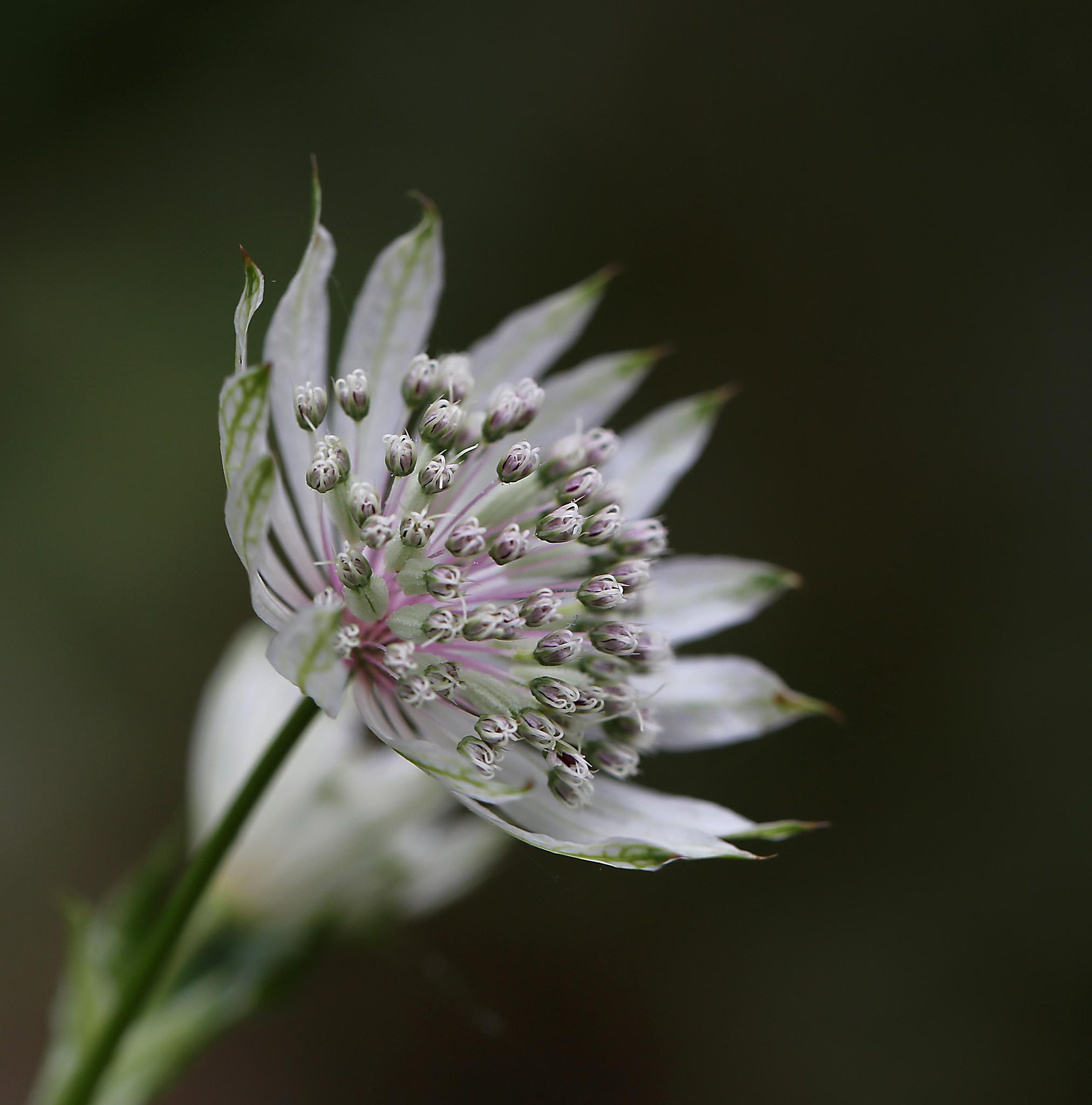 Astrantia by Hannie vd