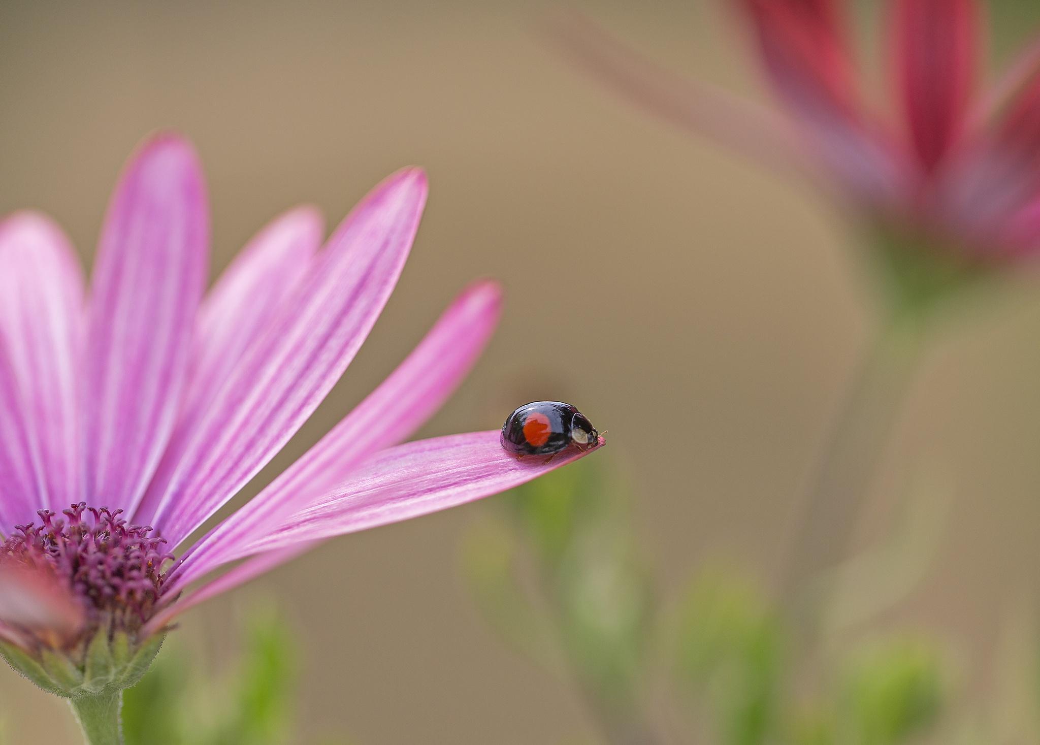 Ladybug by Hannie vd