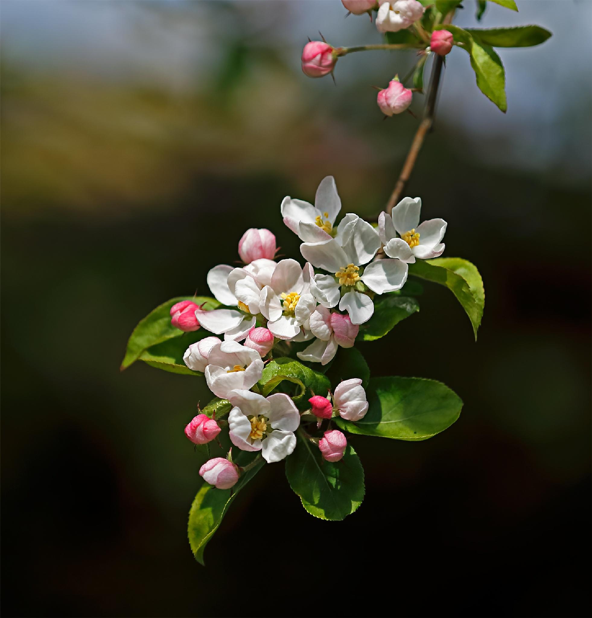 Blossom by Hannie vd