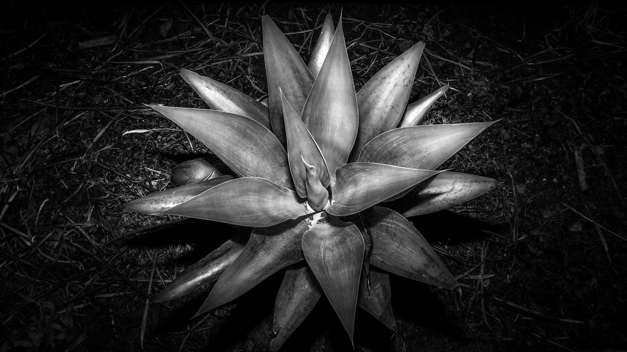 starburst by Max Evans