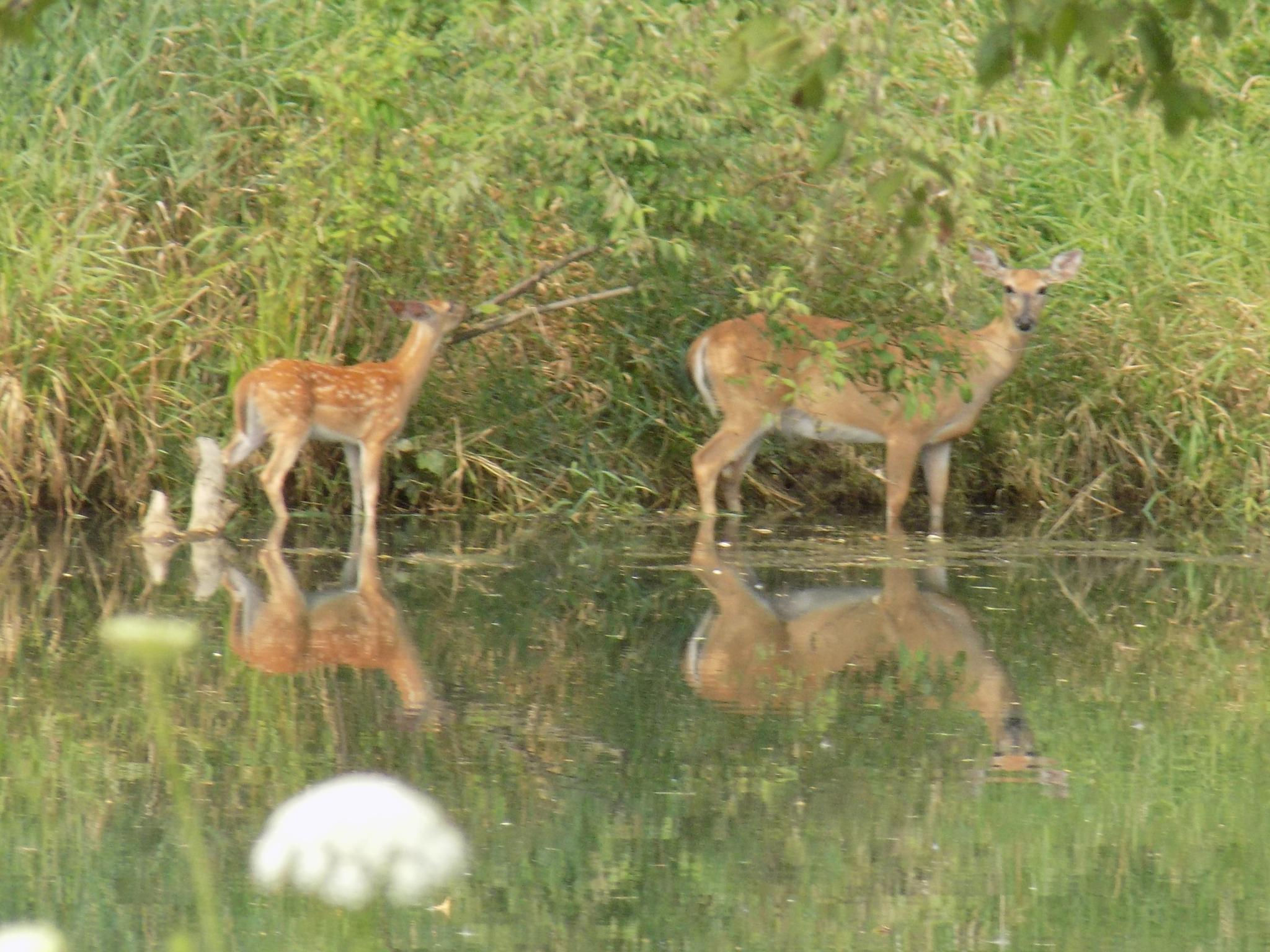 Mama Deer & Her Twins by Lori Enfield