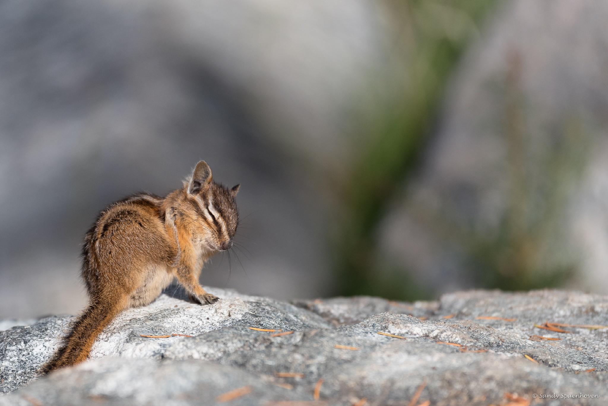 Chipmunk by Sandy Spaenhoven