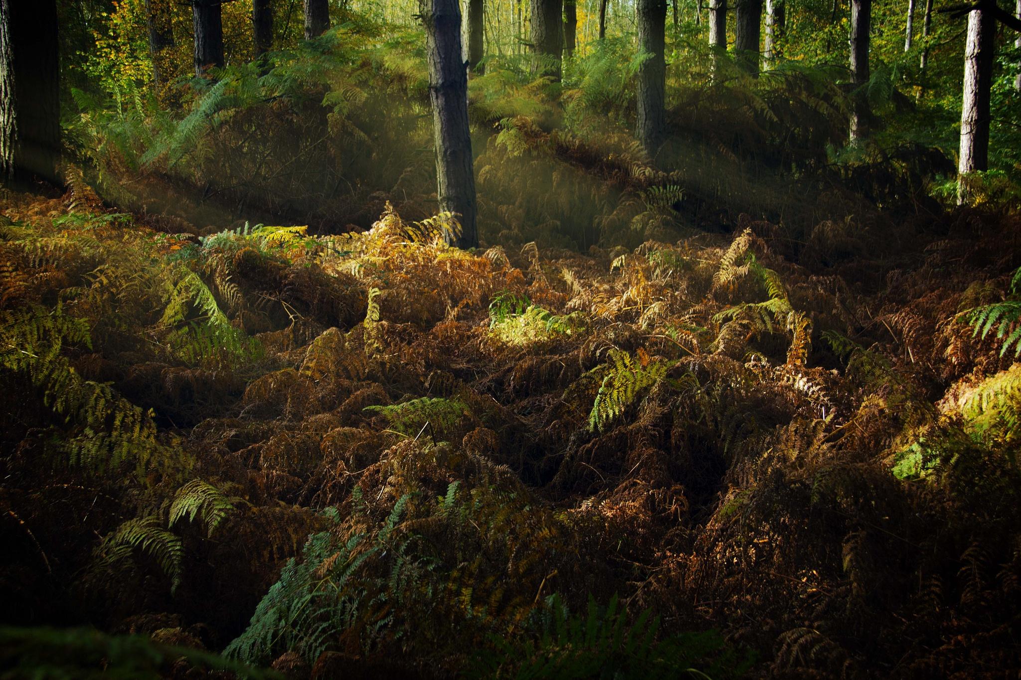 Woodland Rays by Willpower