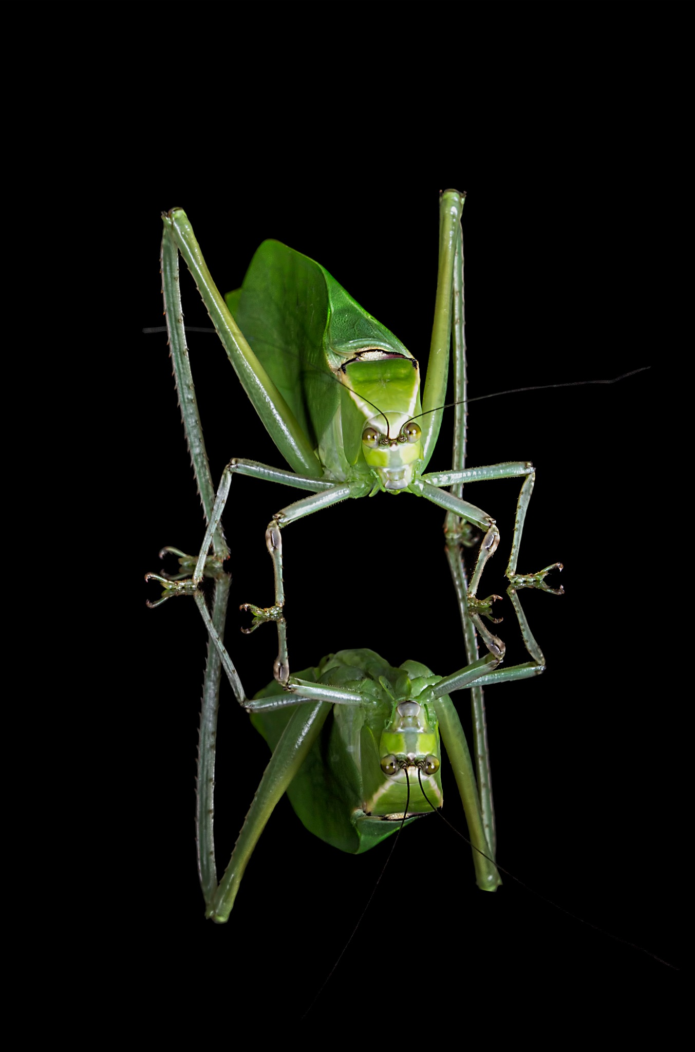 Katydid by Willpower