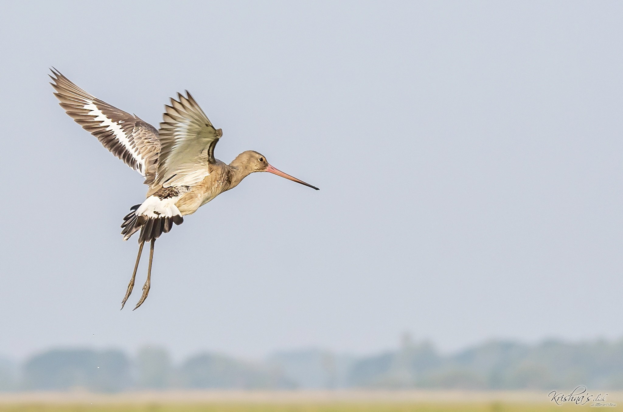 Black-tailed Godwit by Srikrishna Das