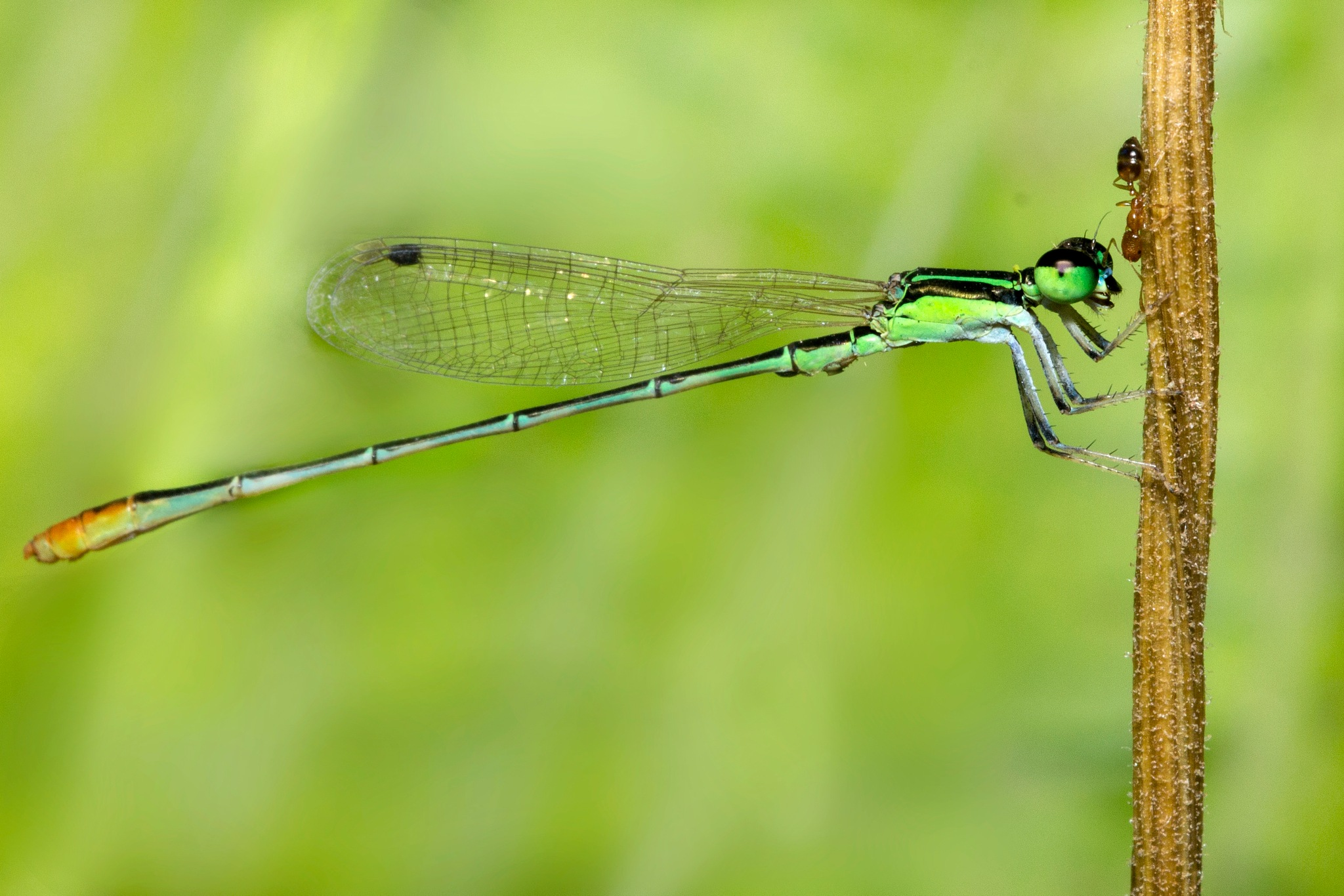 Damselfly   by Lokesh Pamarthi