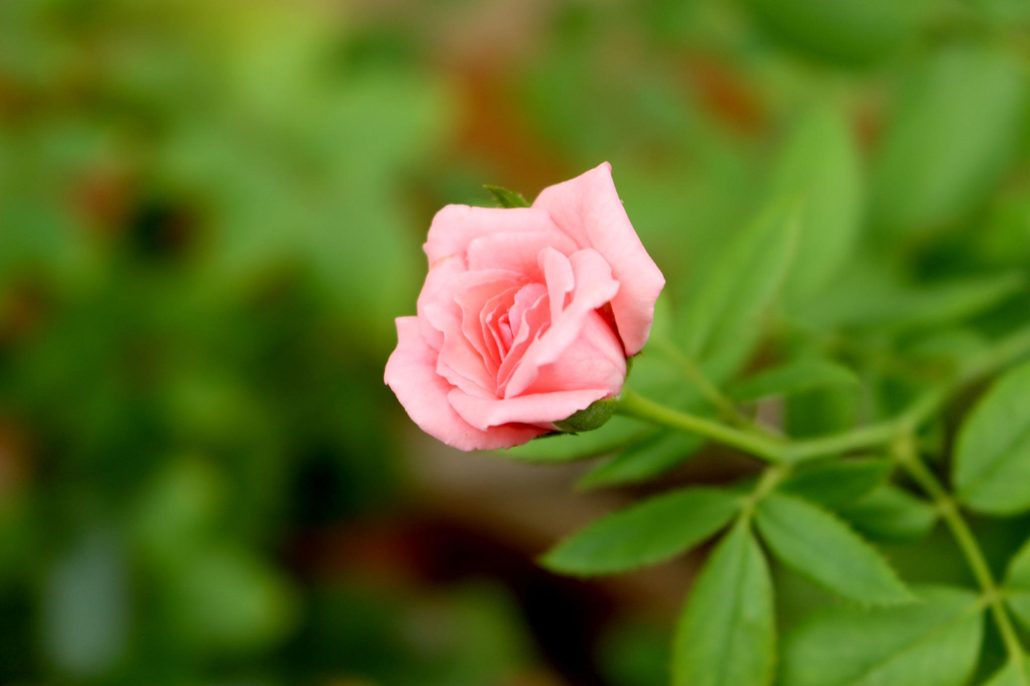Pink Rose  by Lokesh Pamarthi