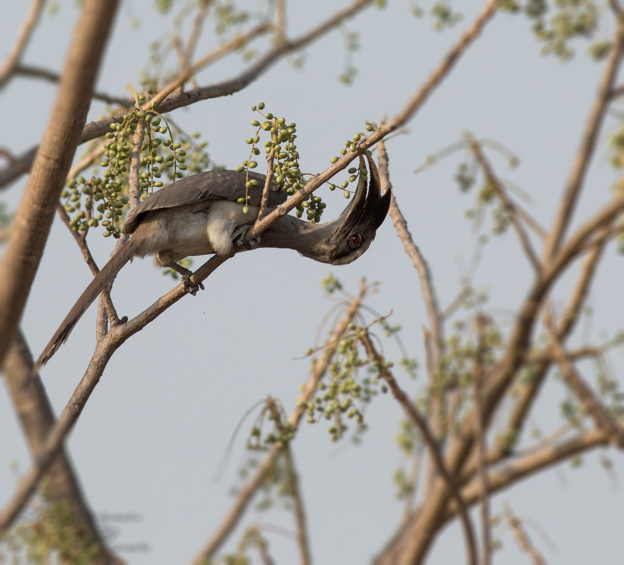 Grey Hornbill by Lokesh Pamarthi
