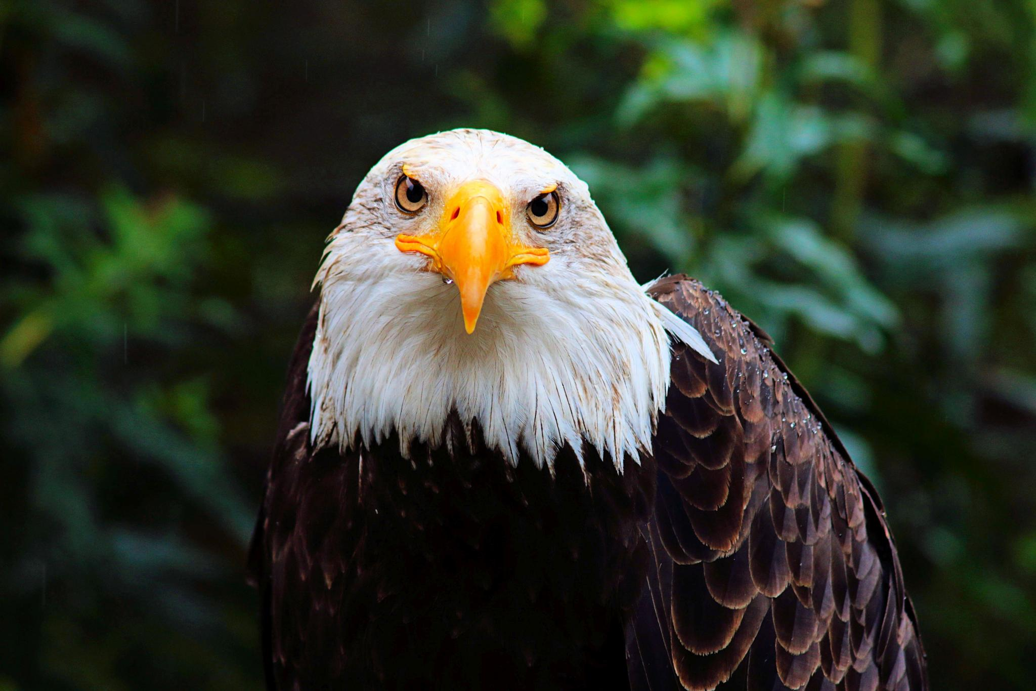 Bald Eagle by Mike Thompson