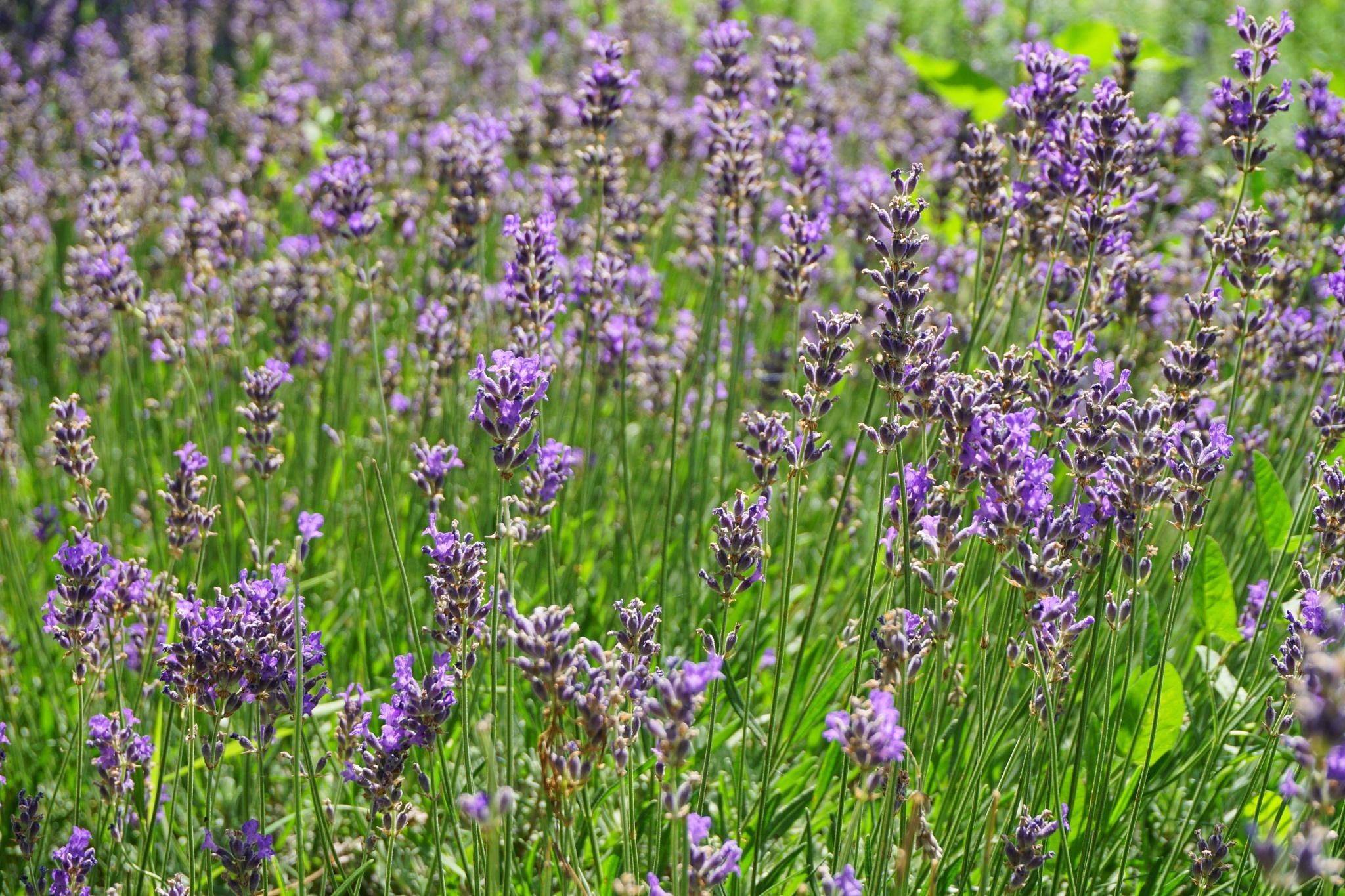 Lavender  by anmayorov