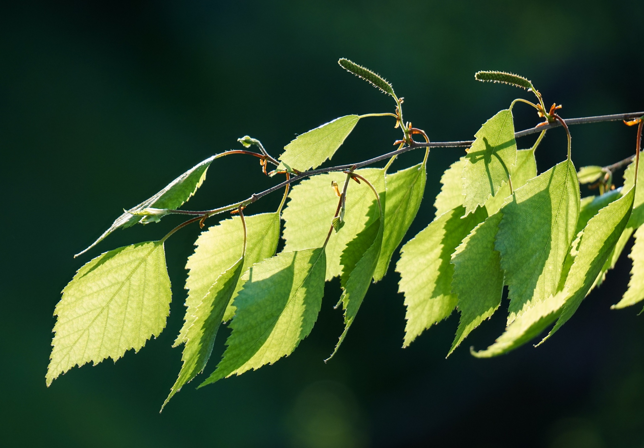 Green leaves in the sunlight  by anmayorov