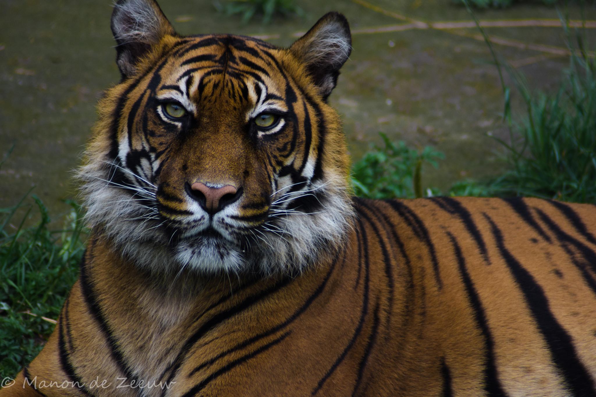 Tiger by Manon de Zeeuw
