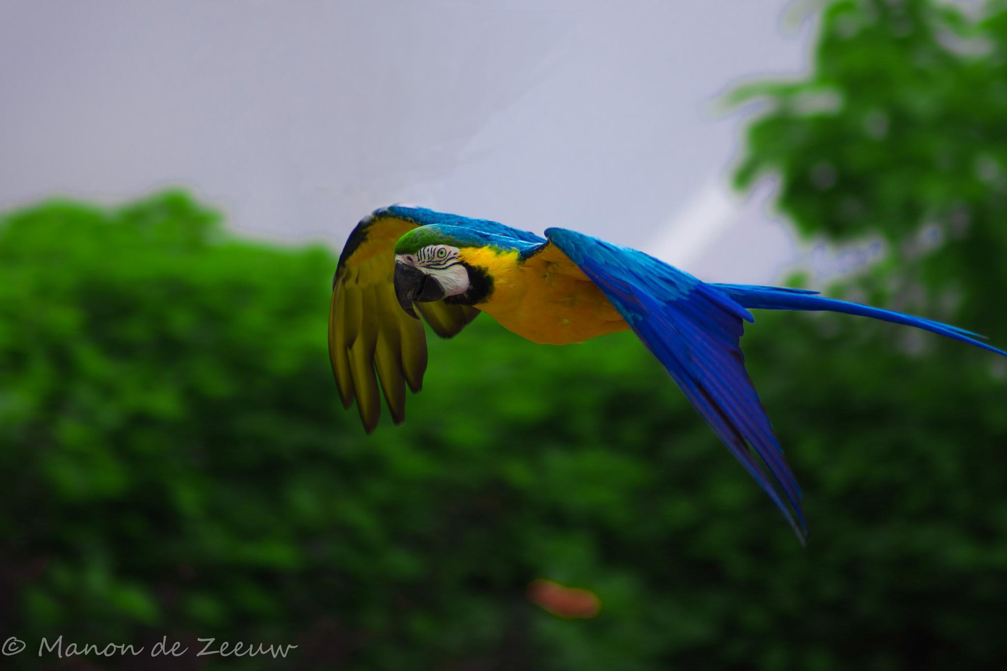 the parrot by Manon de Zeeuw