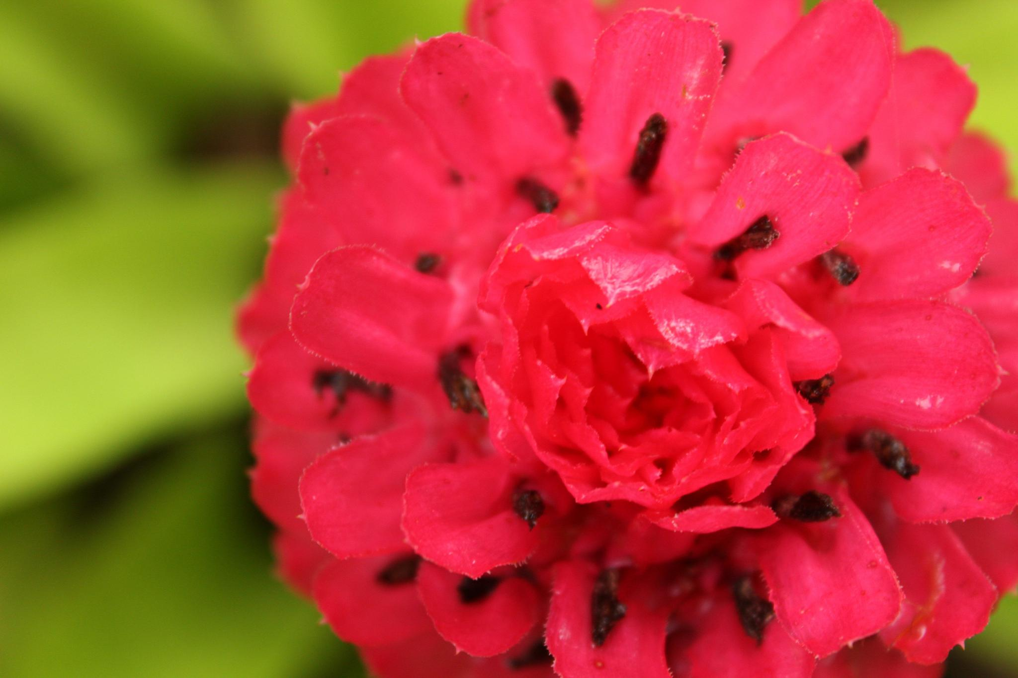Bromelia Flower by Mari Martini