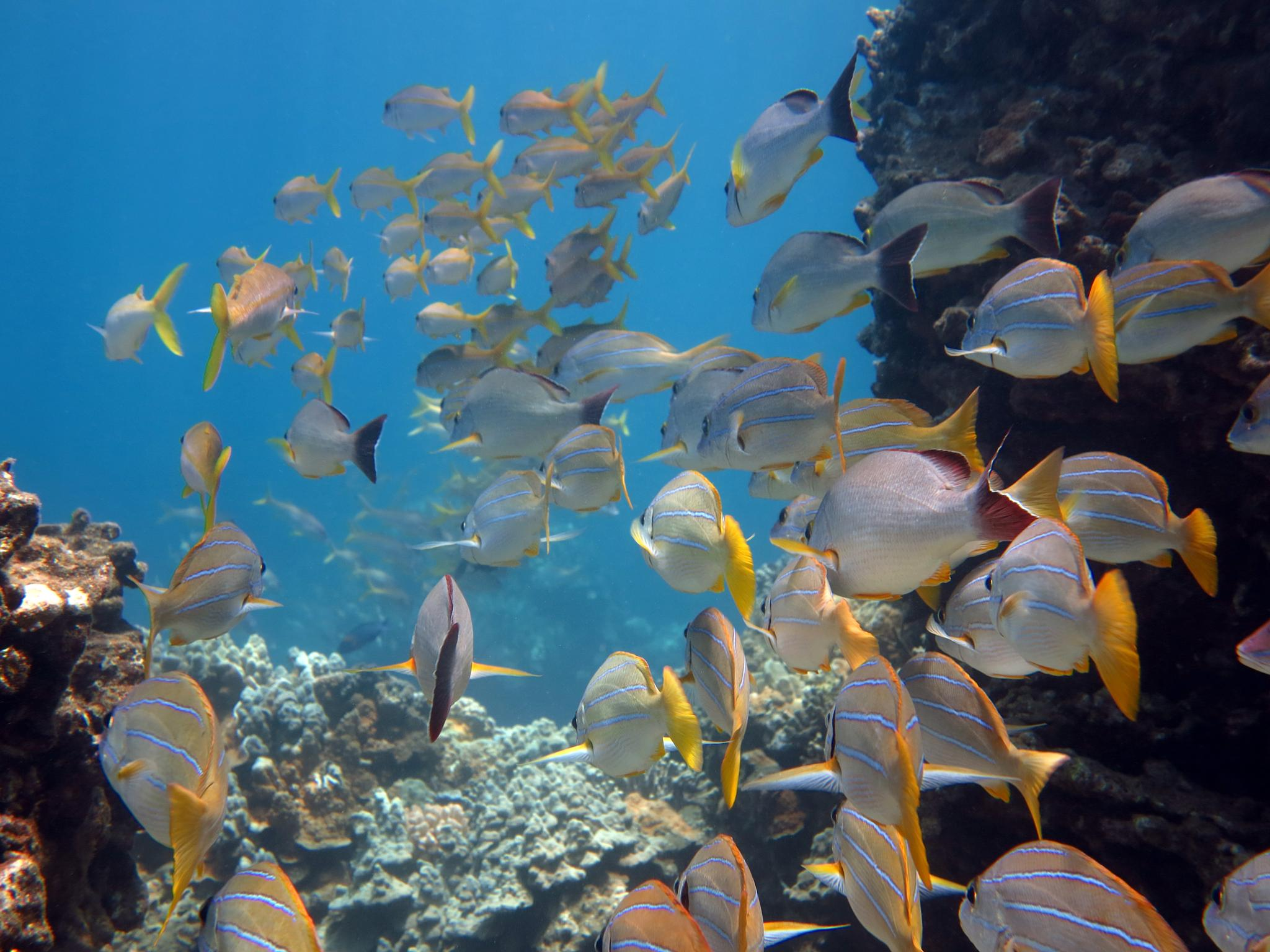 Blue Stripe Snappers by Keith Saddler