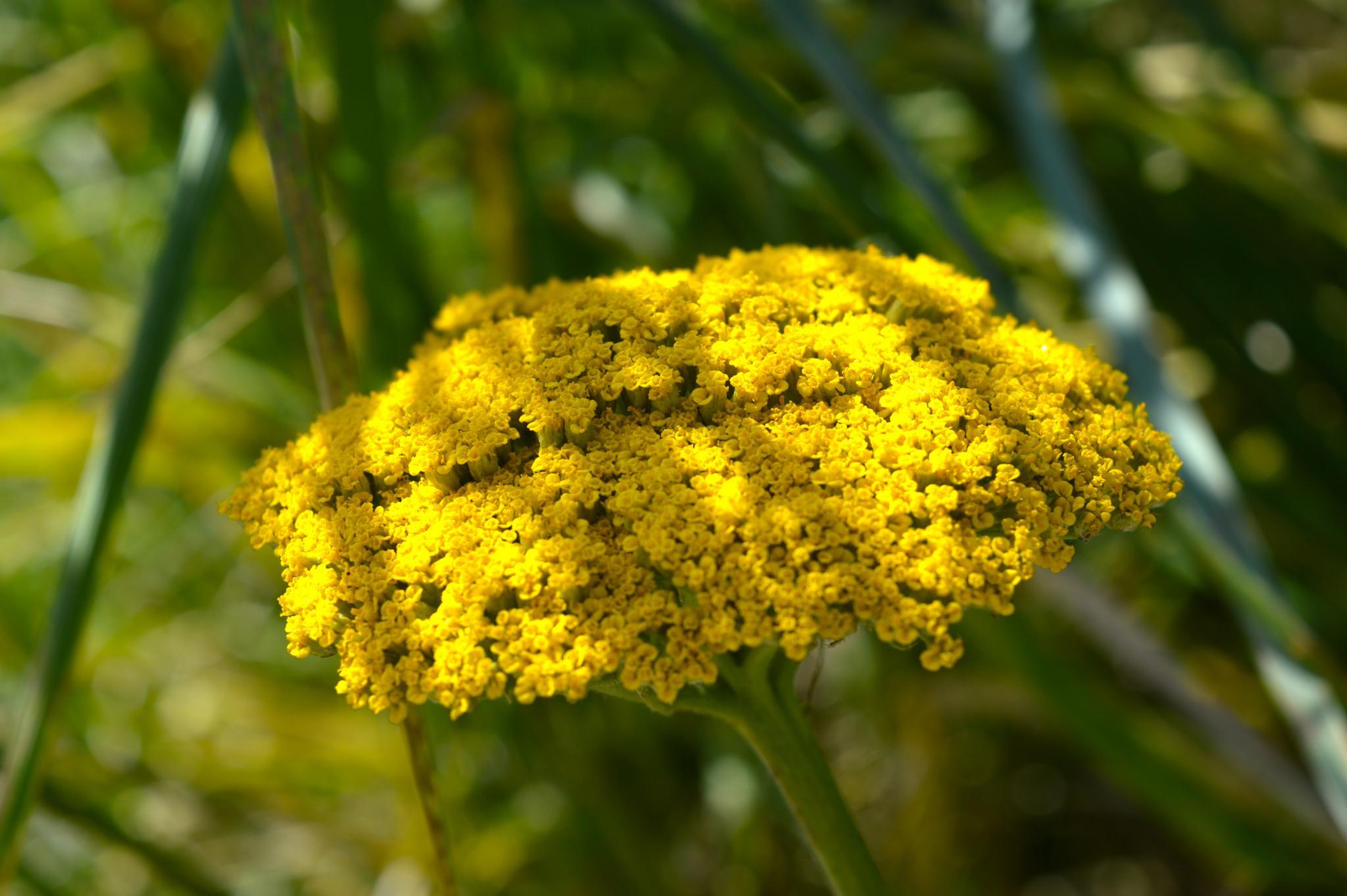 Yellow flower by Ashkan Baharlooe