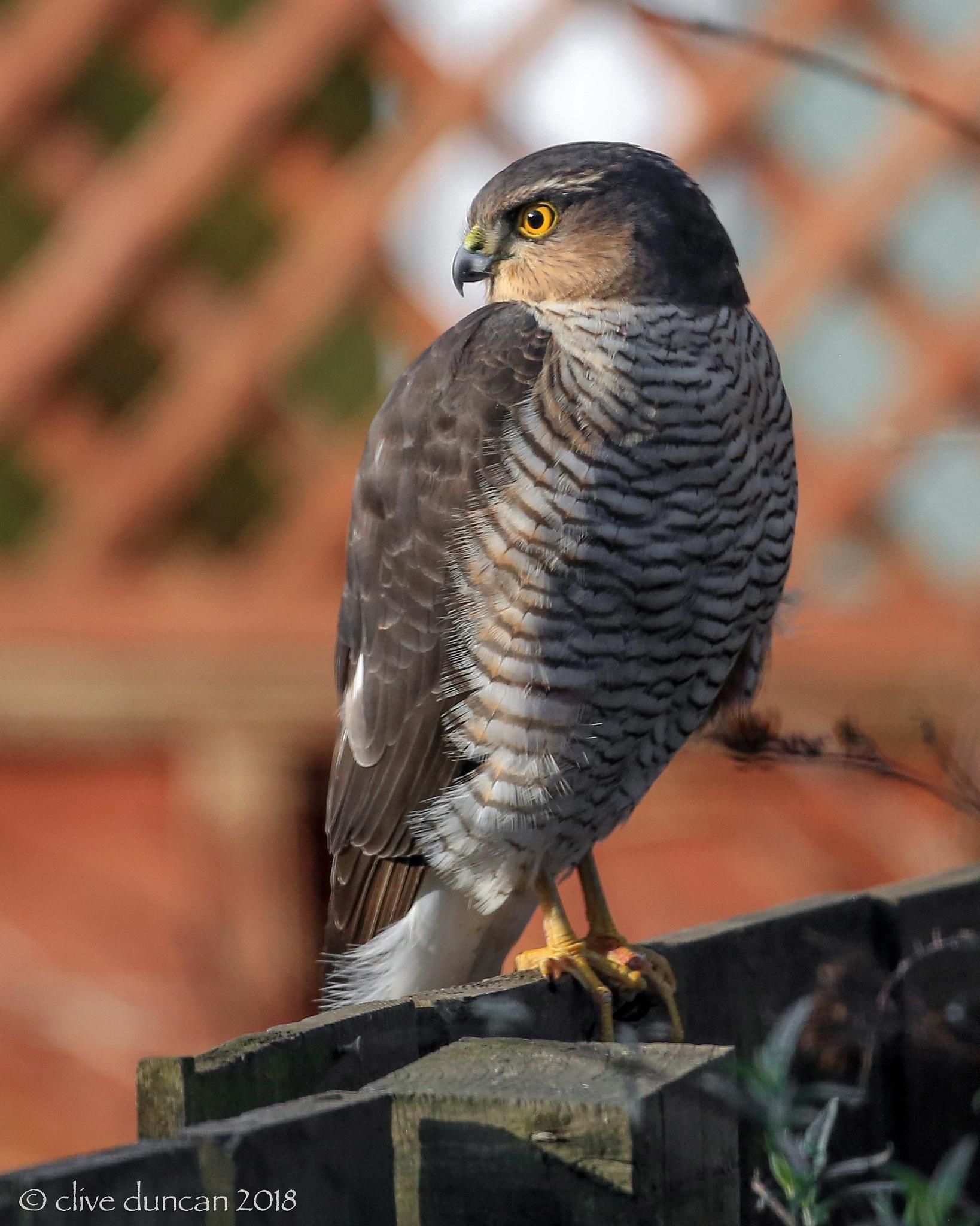 Sparrowhawk (female) by geordiepix