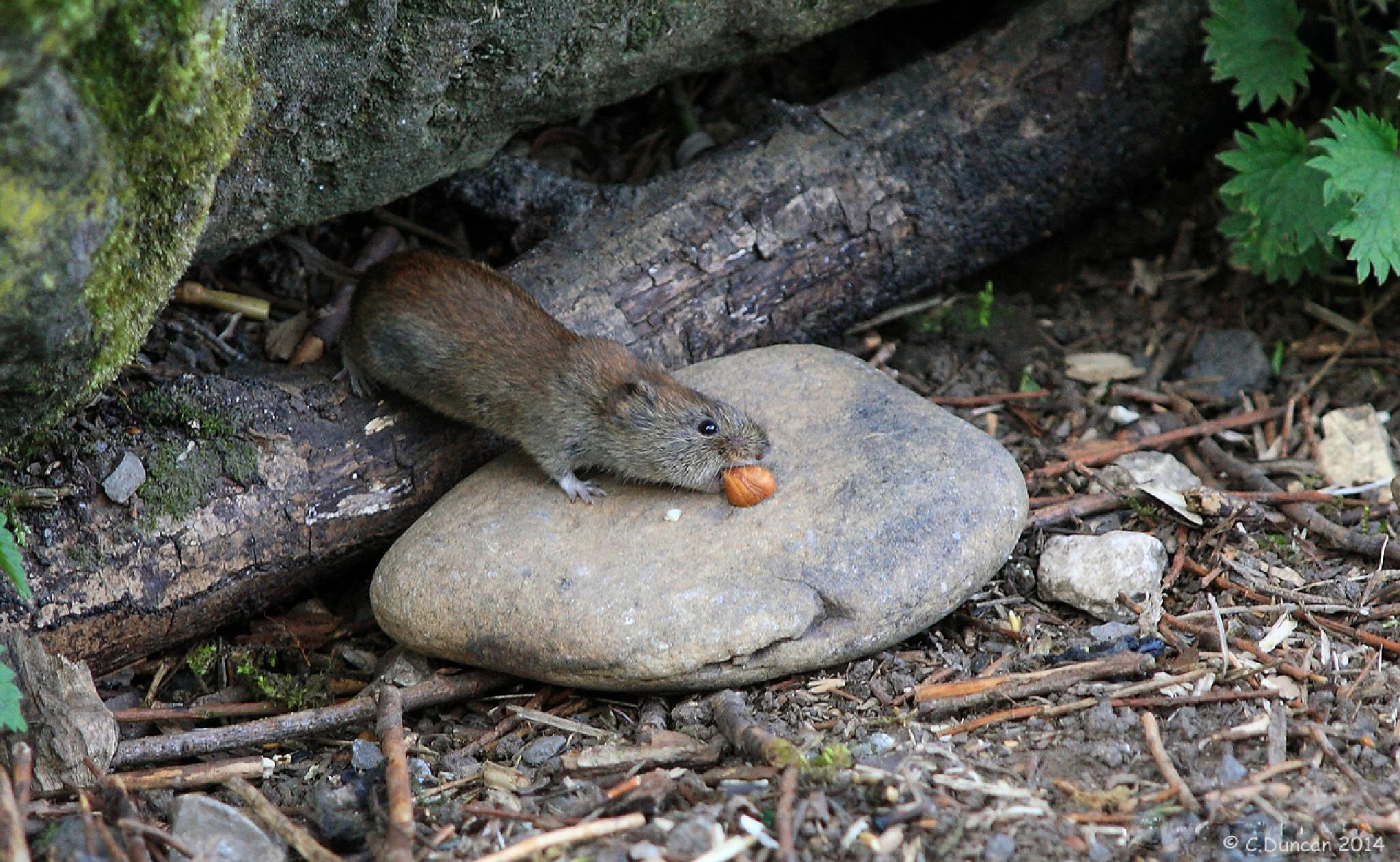 Submission (Bank Vole) by geordiepix