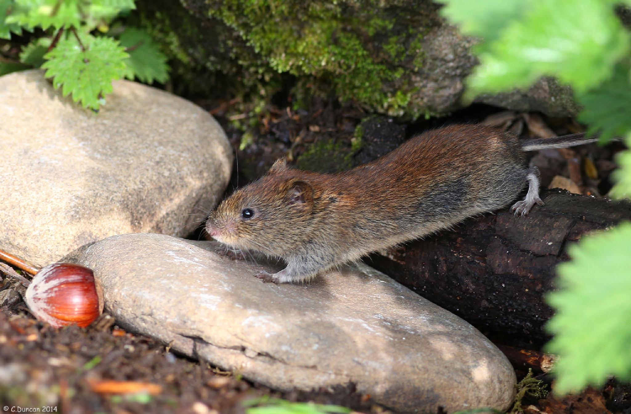 Optimism (Bank Vole) by geordiepix