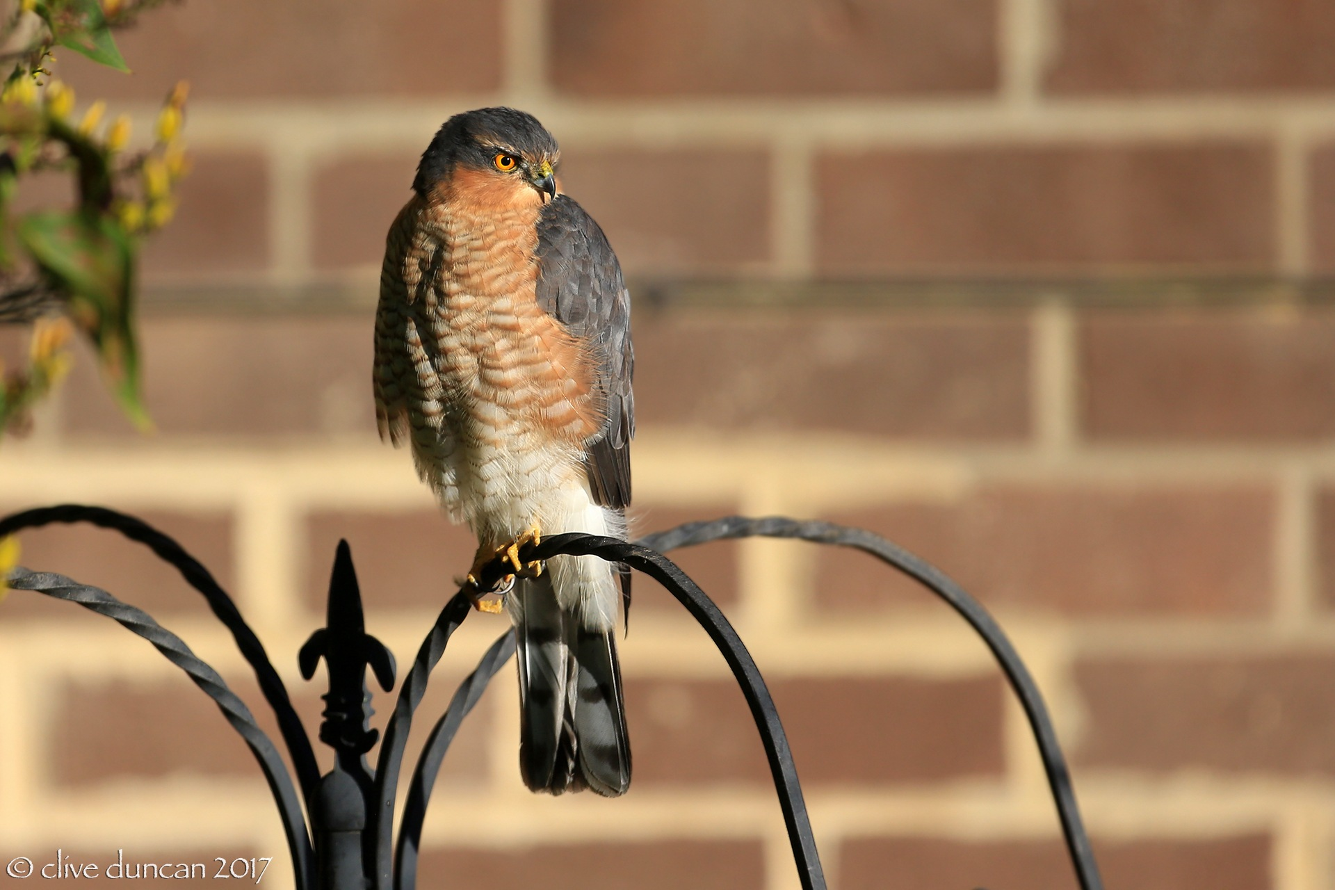 Sparrowhawk by geordiepix