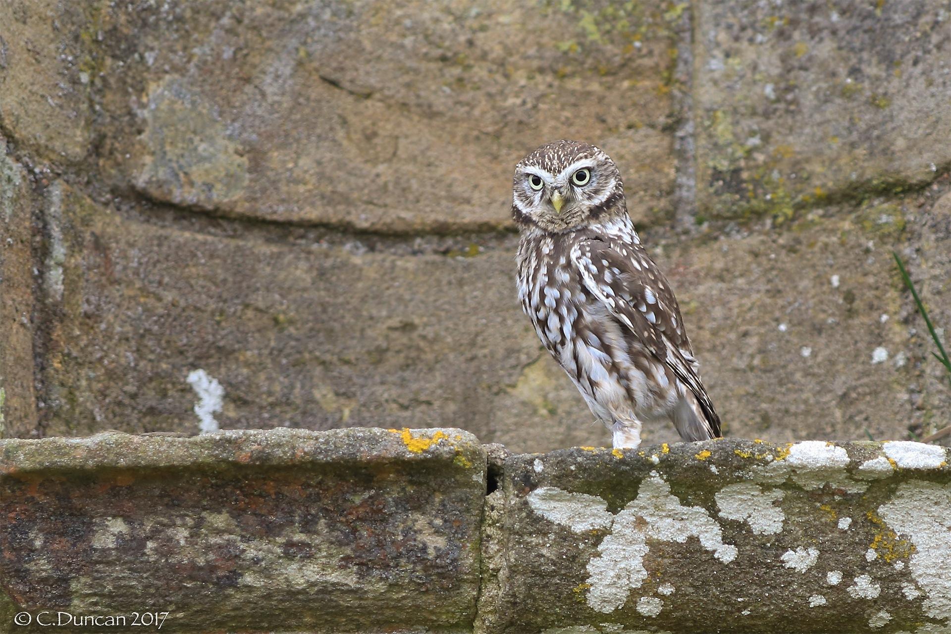 Little Owl by geordiepix