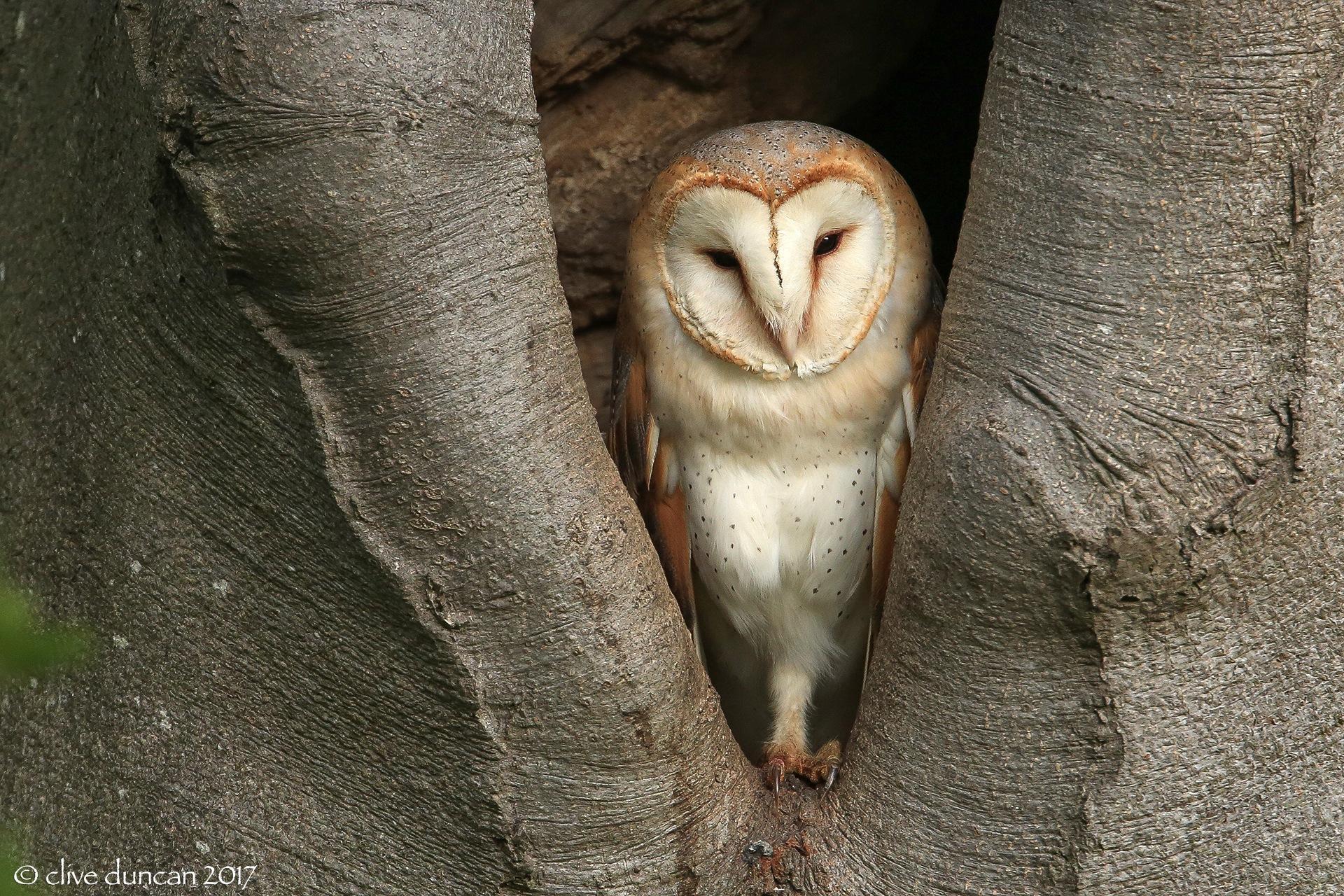 Barn Owl by geordiepix