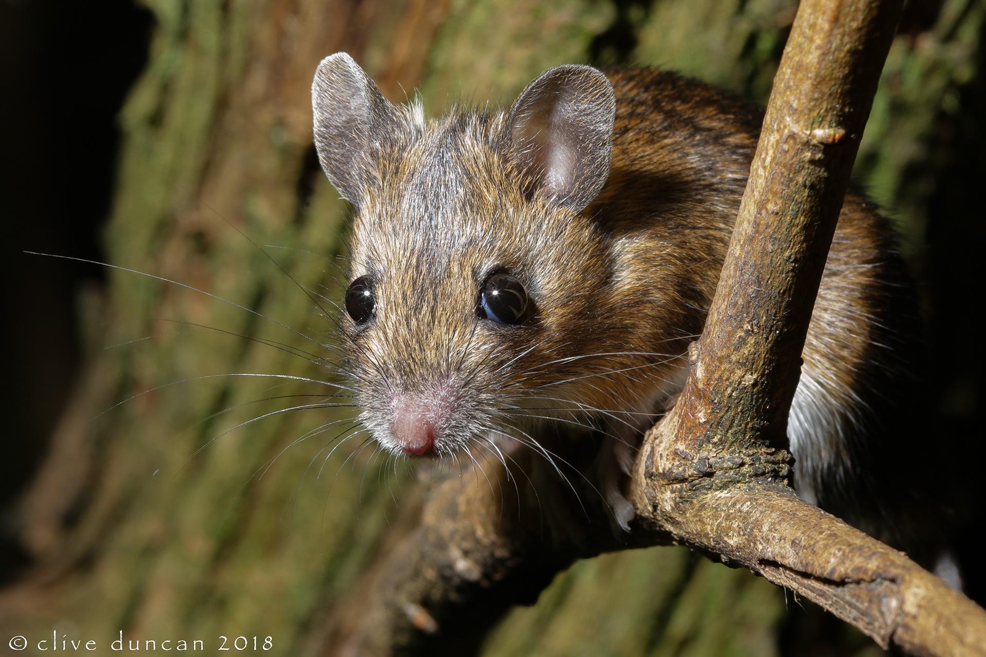 Wood Mouse by geordiepix