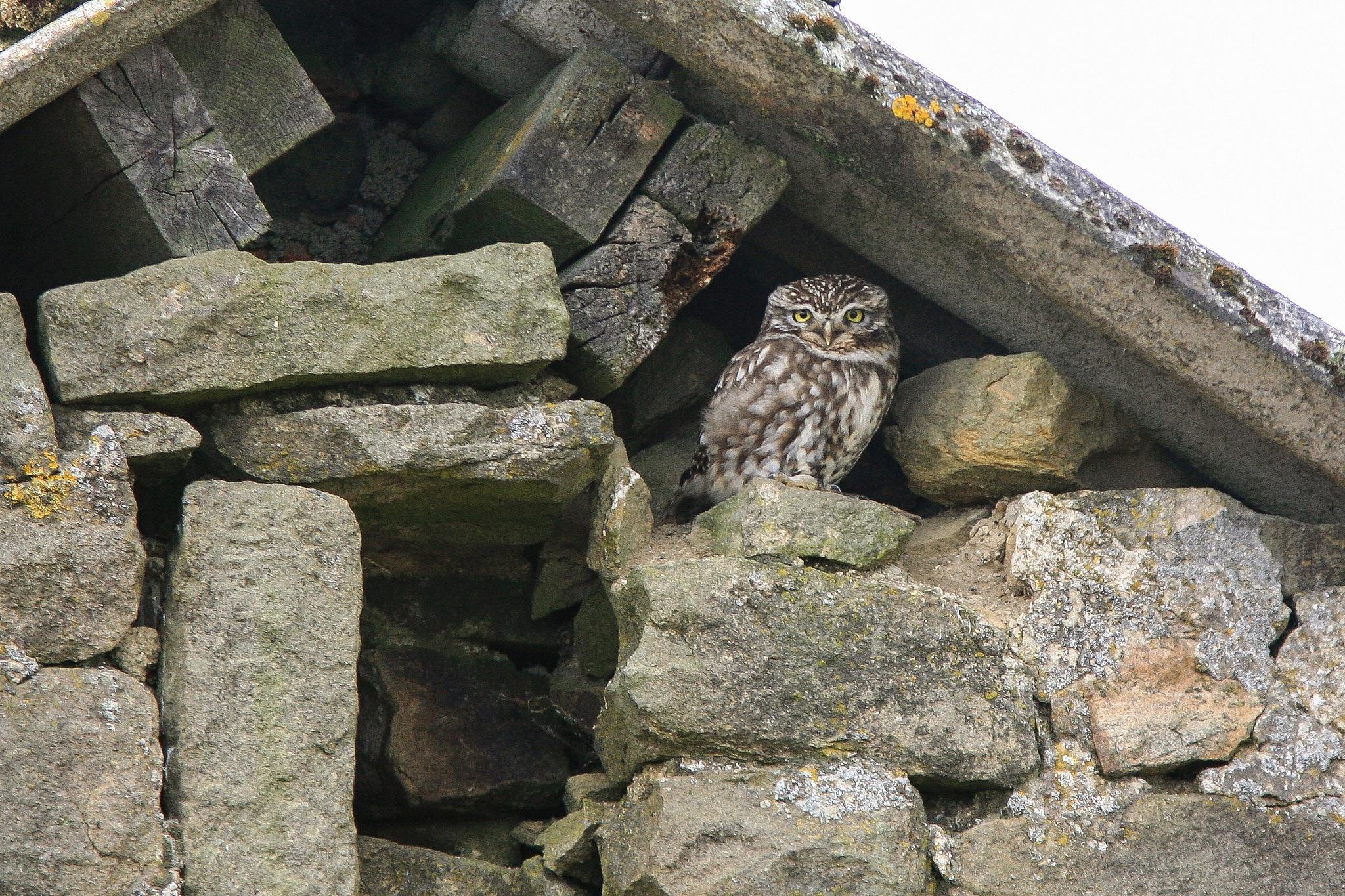 Photo in Animal #little owl #owl #bird #bird of prey #canon 5d classic