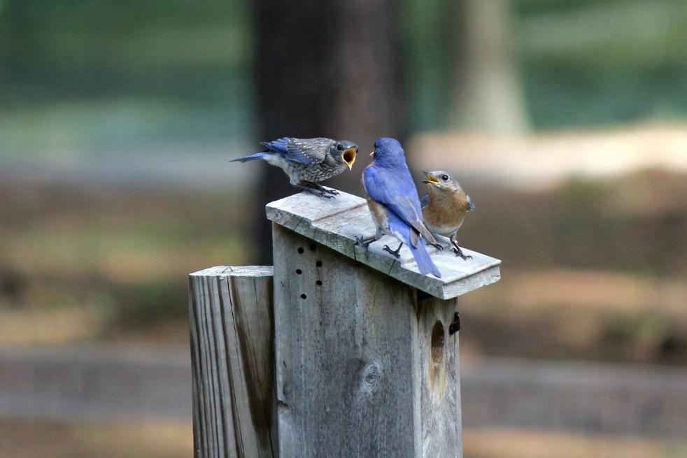 Dad Feeding Bluebird Babies by Joanne Feeney