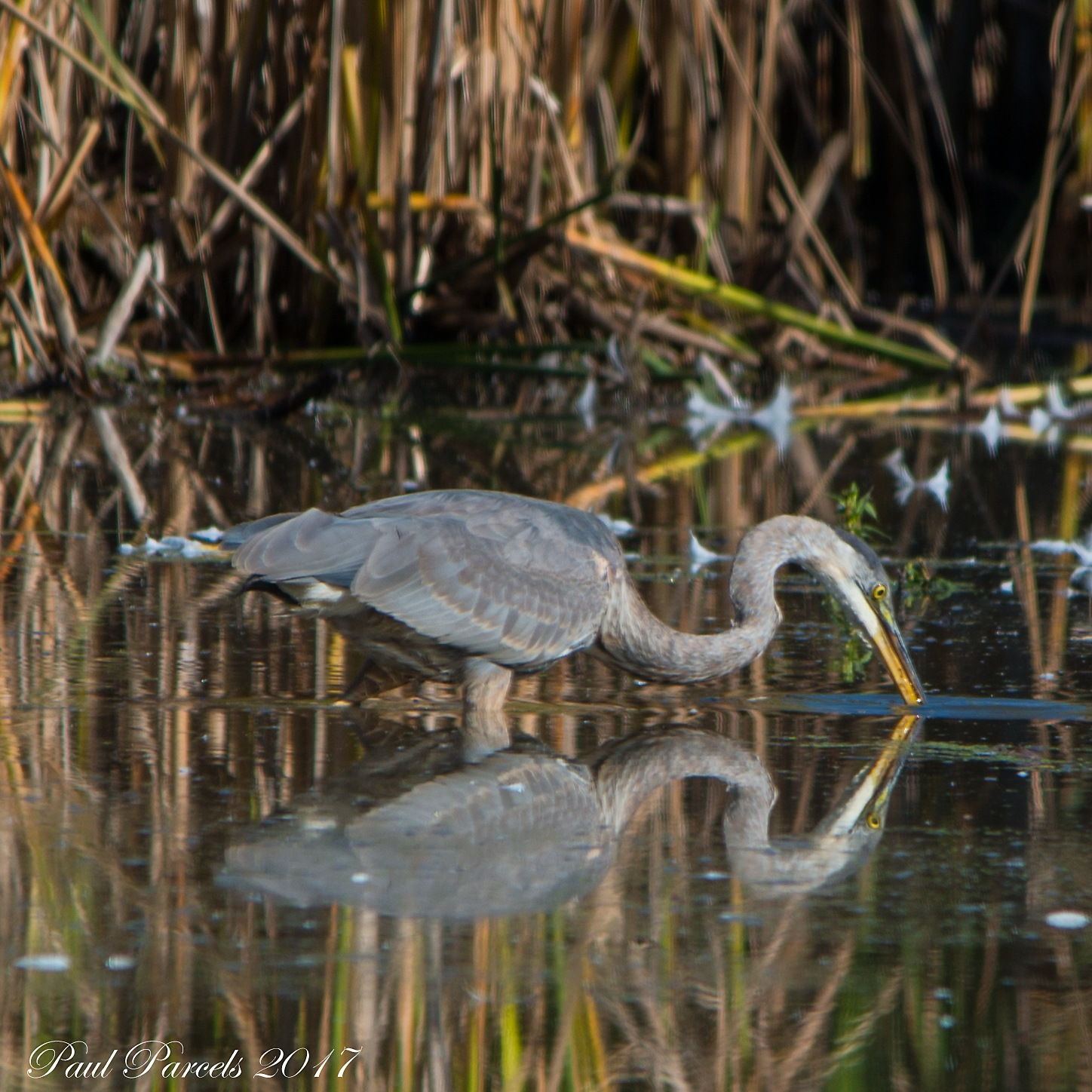 G B Heron by photomanpaul77