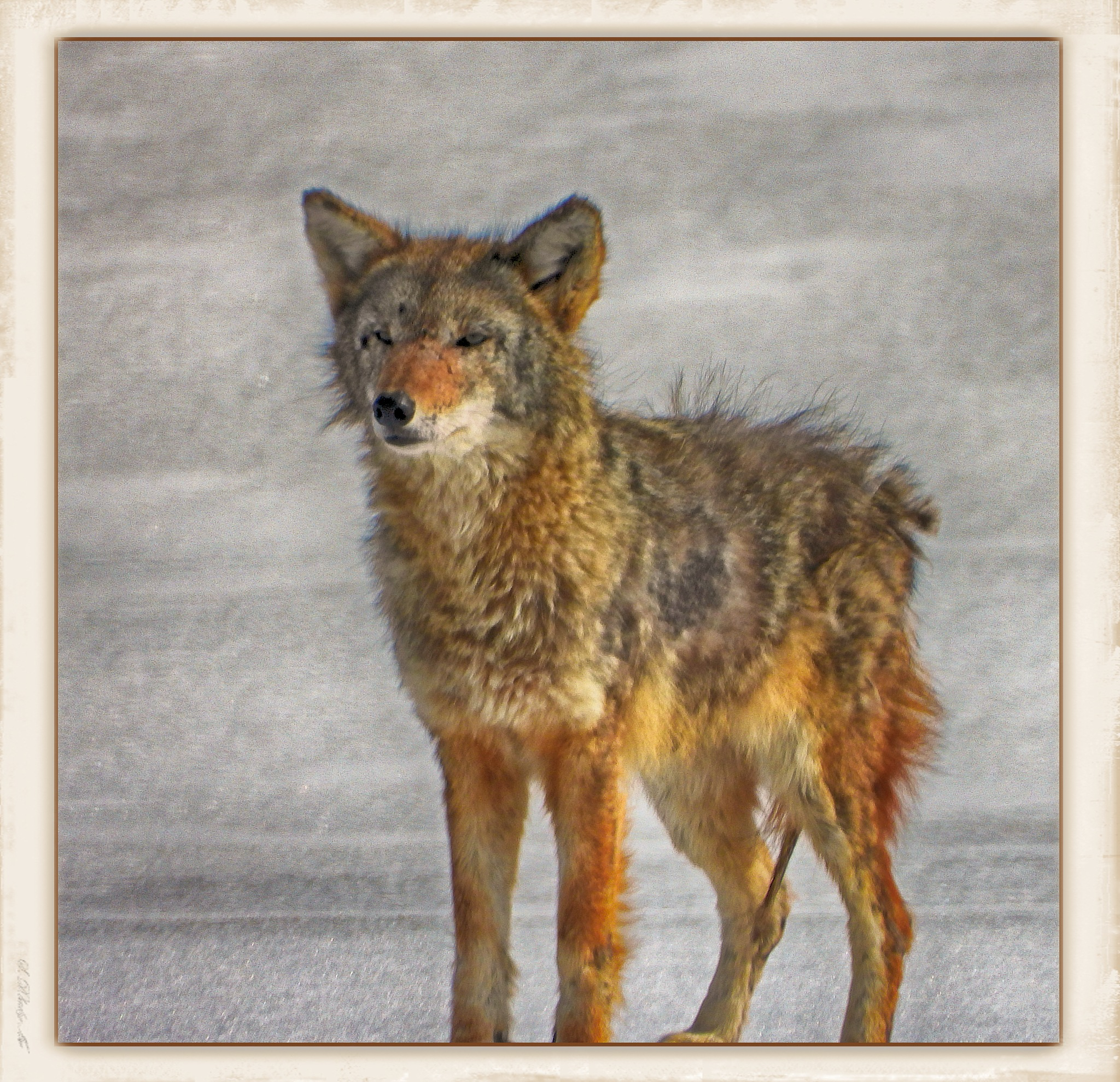 Battle Worn Tough Old Coyote by photomanpaul77