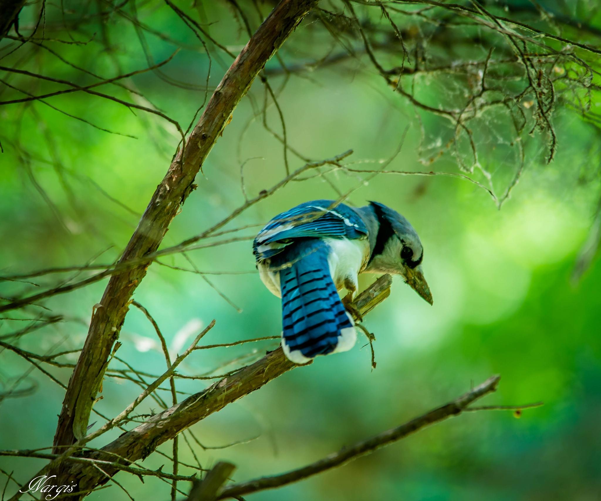 Blue Jay by Nargis Halter