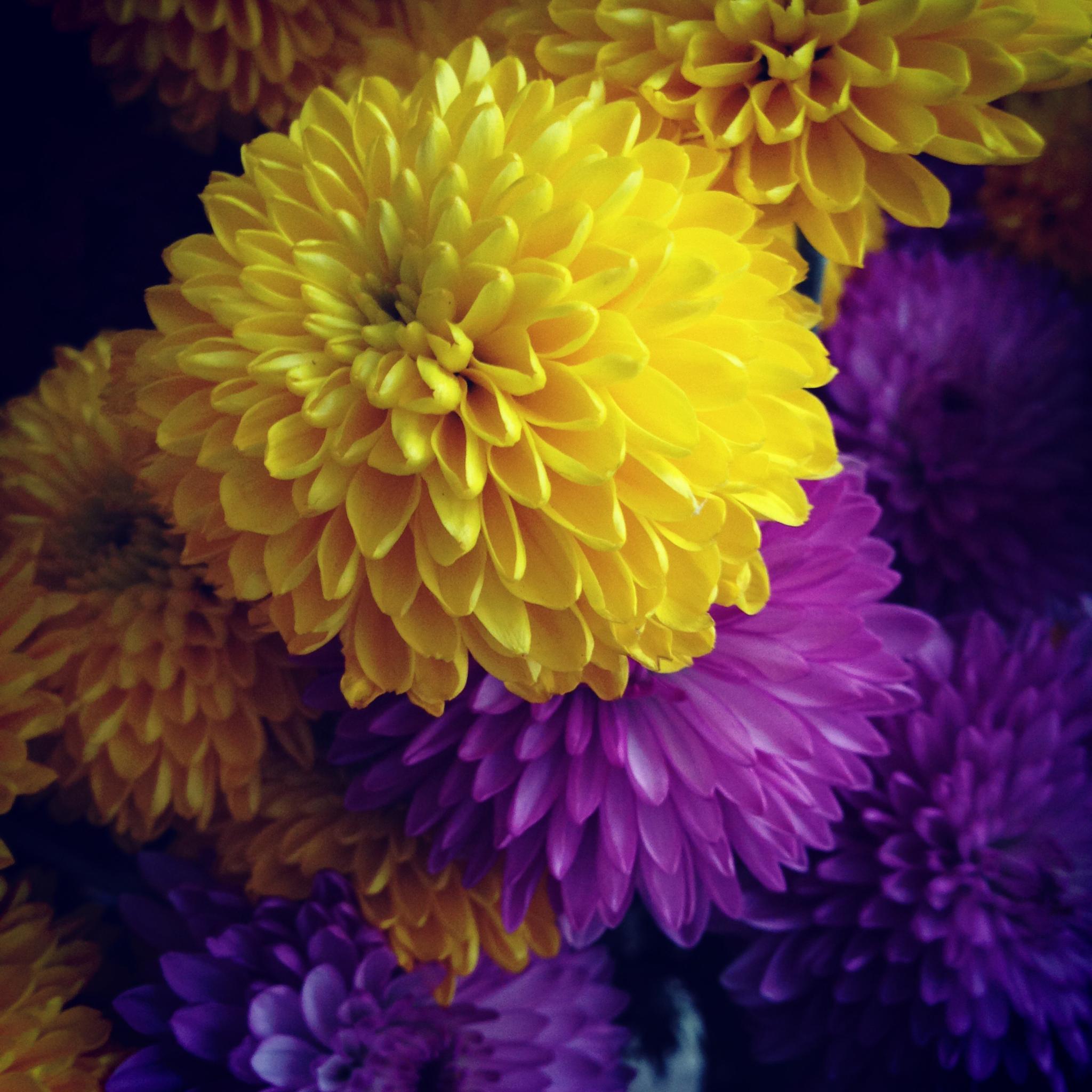 Colourful dahlias by pedrovit
