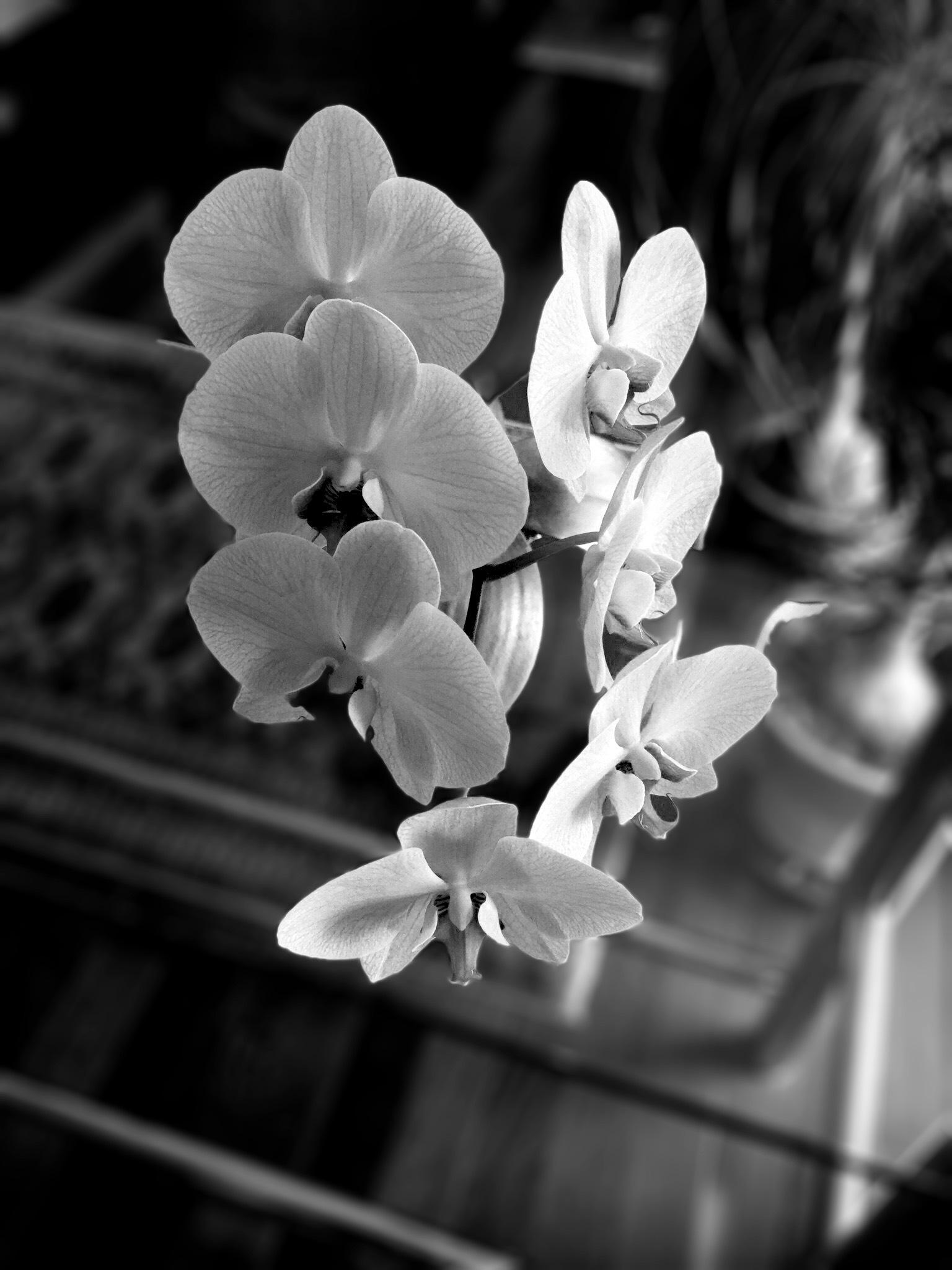 Phalenopsis in bloom... by pedrovit