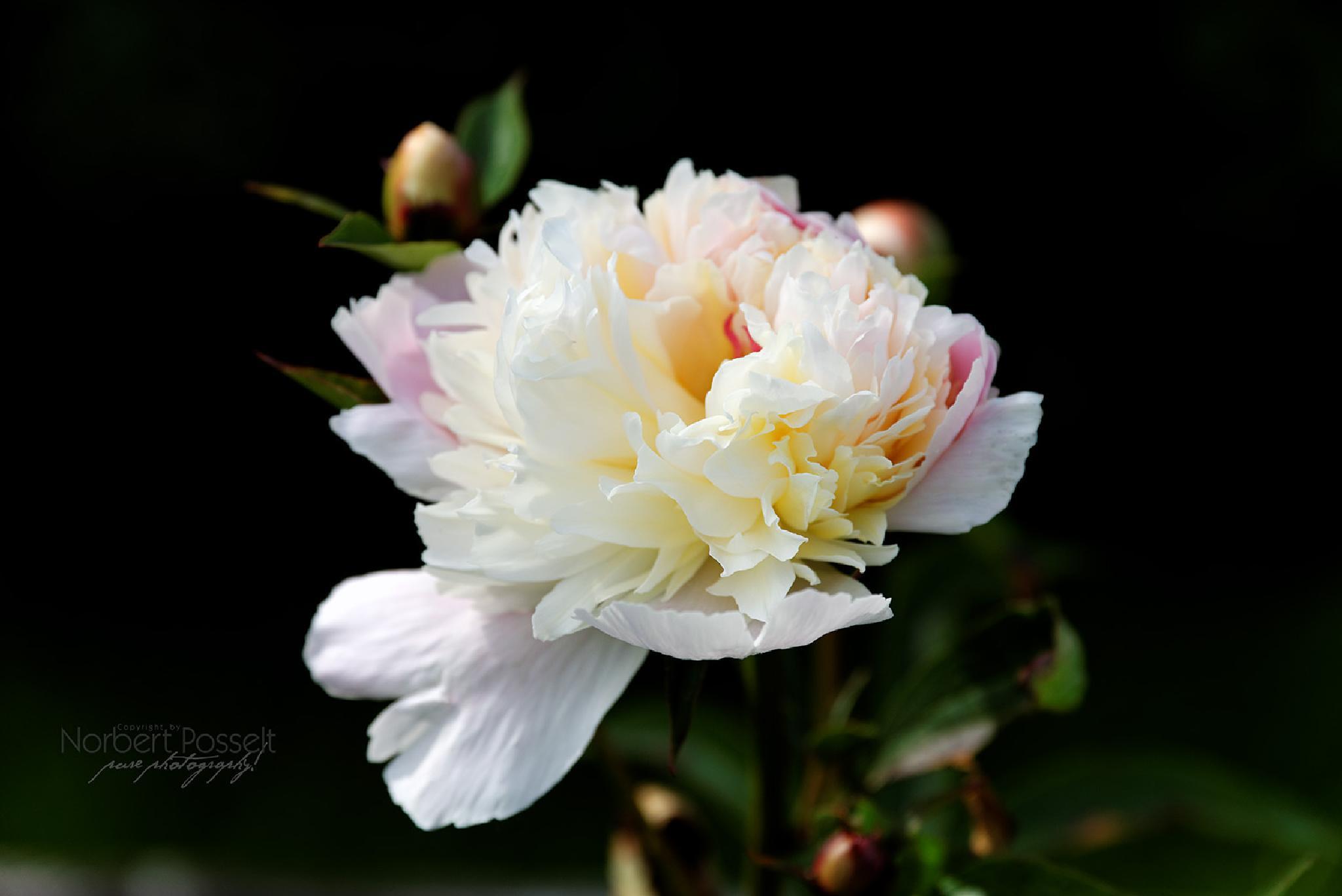 Beautiful Flower by Norbert Posselt