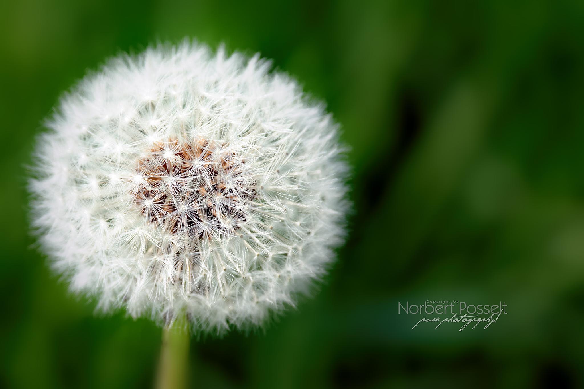 Dandelion by Norbert Posselt
