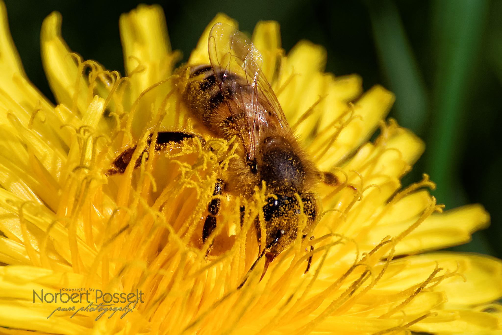 Bee in Dandelion by Norbert Posselt