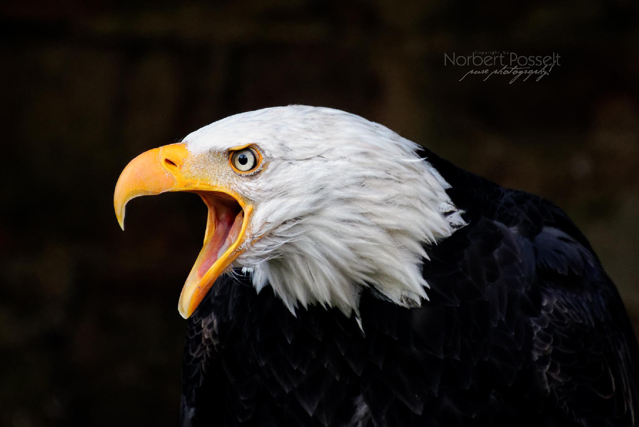 Photo in Animal #adler #eagle #bald eagle #schrei #cry #greifvogel #cross birds #accipitridae #accipitriformes #haliaeetus leucocephalus