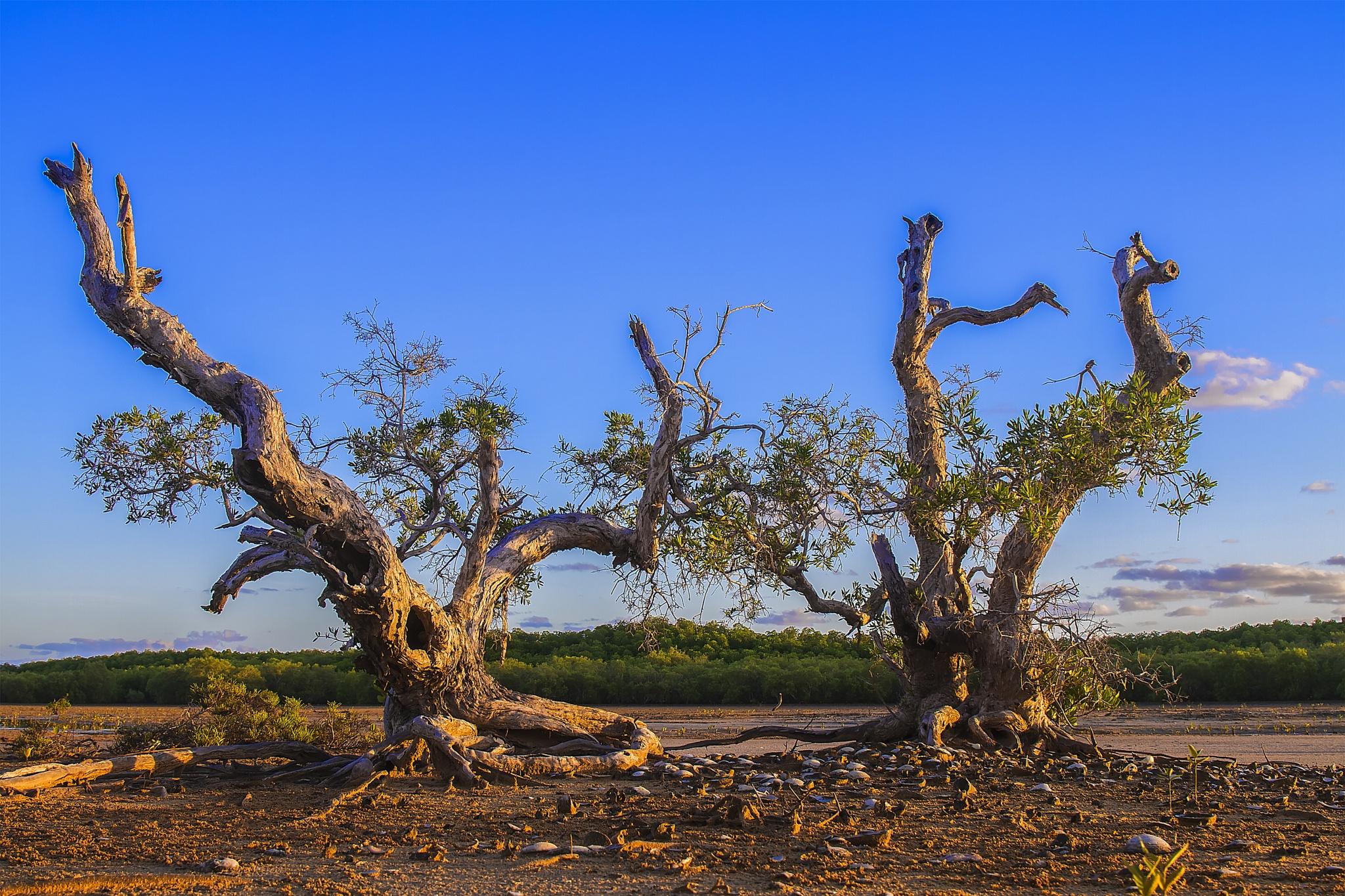 PAPER BARK TREES   by EVA