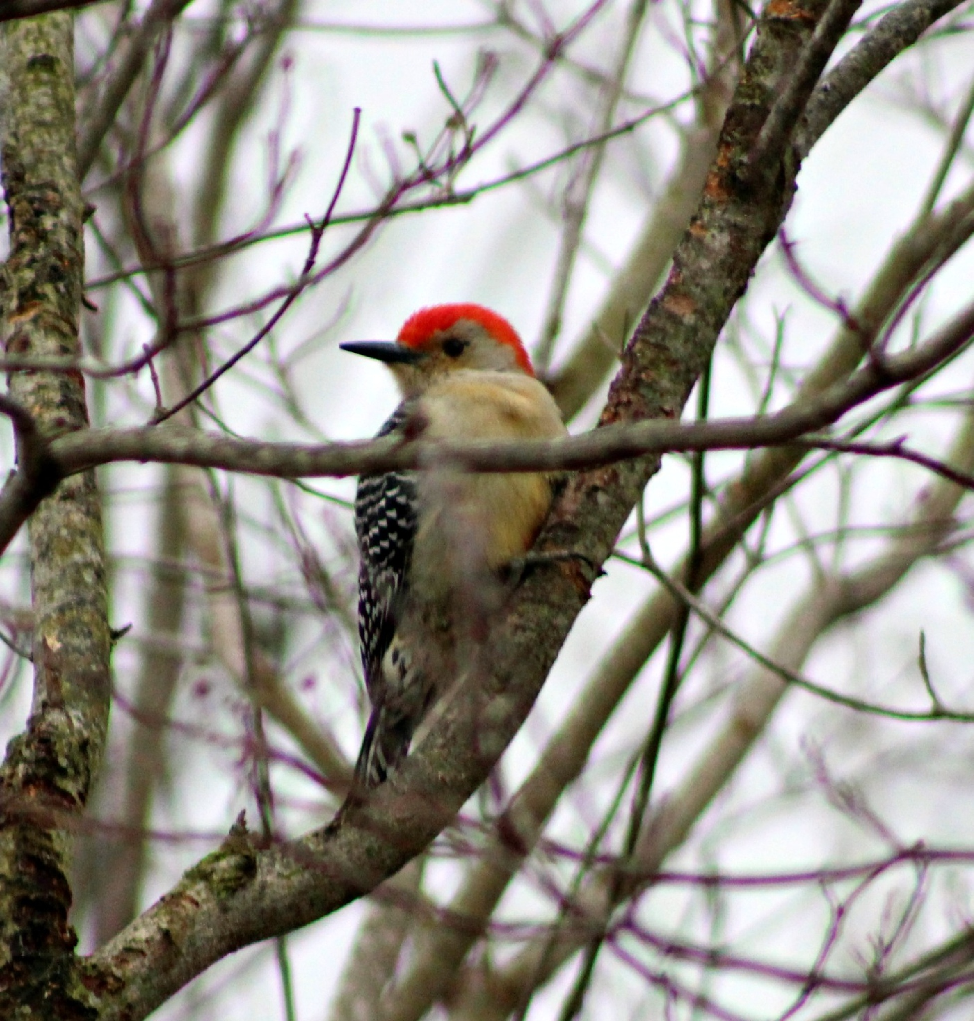 Male Red bellied Woodpecker  by Brenda Updike