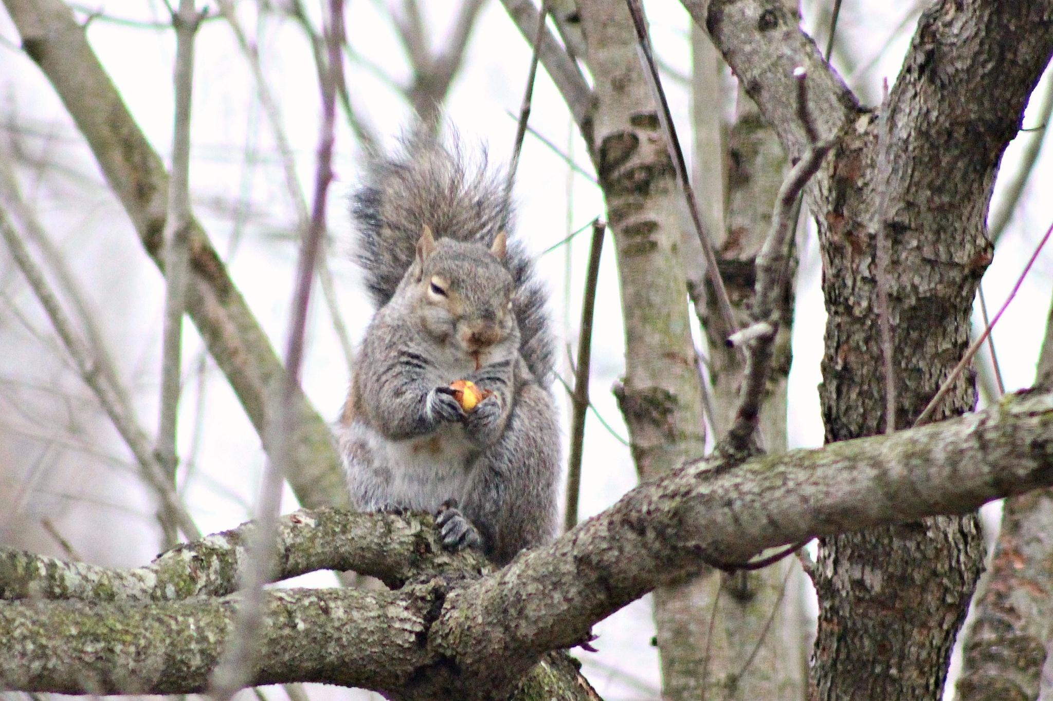 Female Squirrel by Brenda Updike