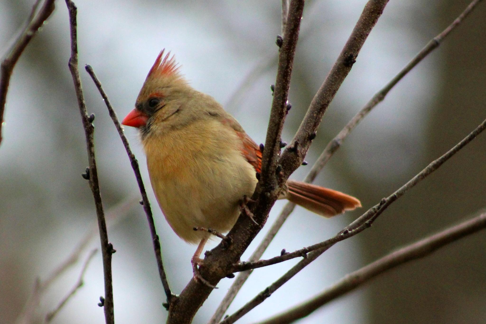 Female Cardinal  by Brenda Updike