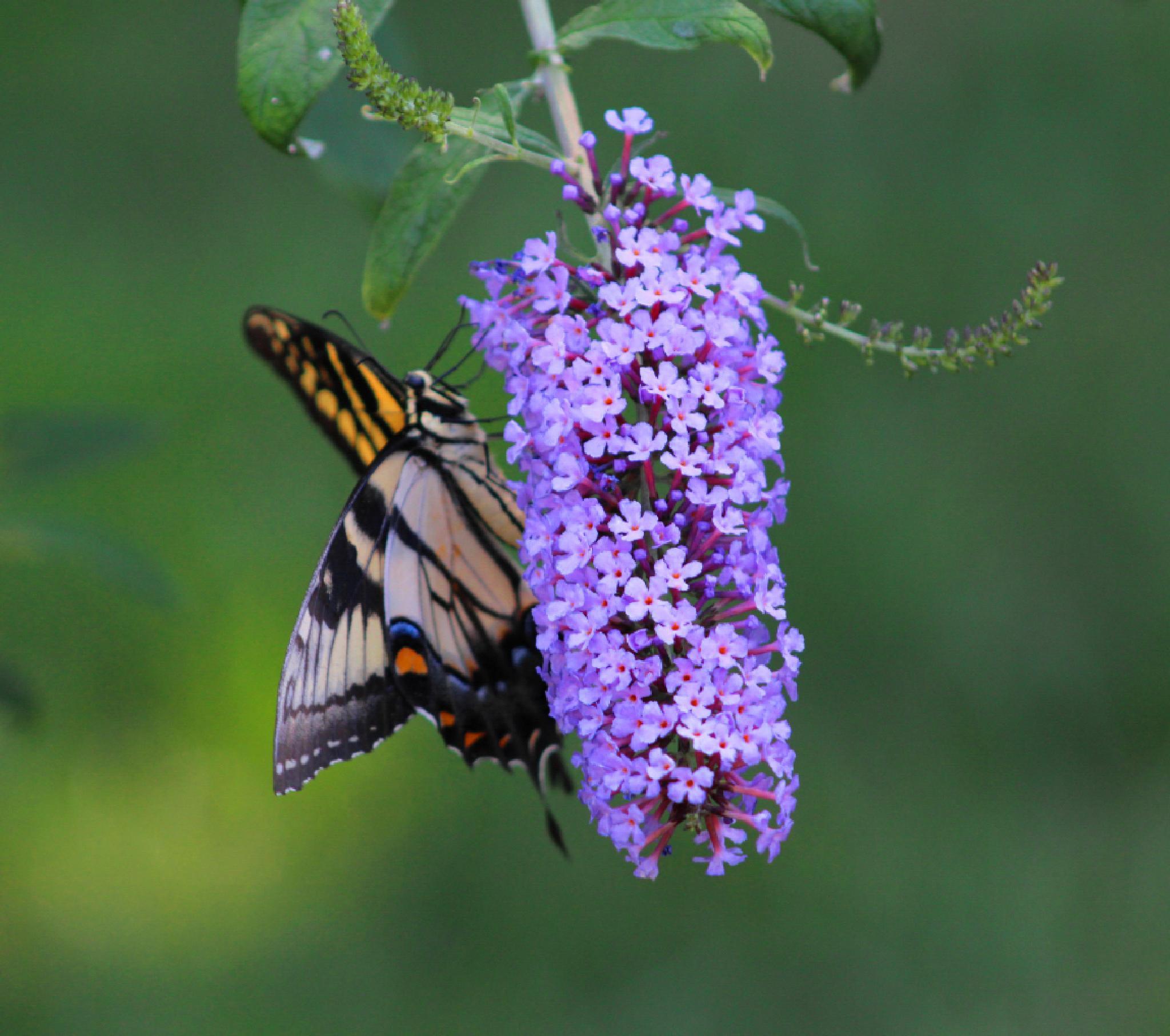 Tiger  Swallowtail  by Brenda Updike