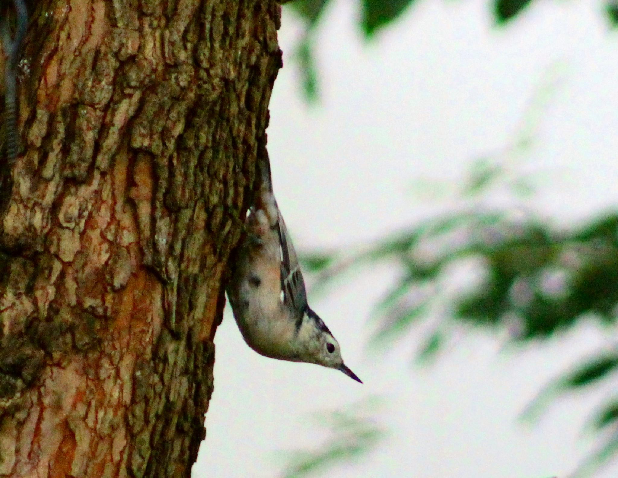 White Breasted Nuthatch  by Brenda Updike