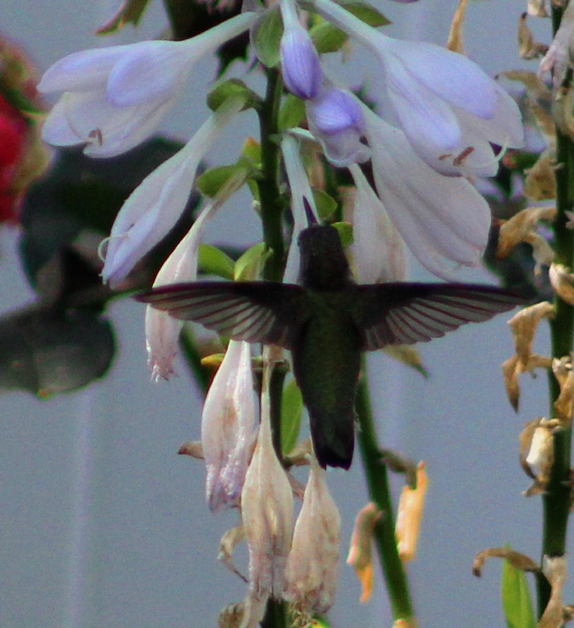 Ruby Throated Hummingbird by Brenda Updike
