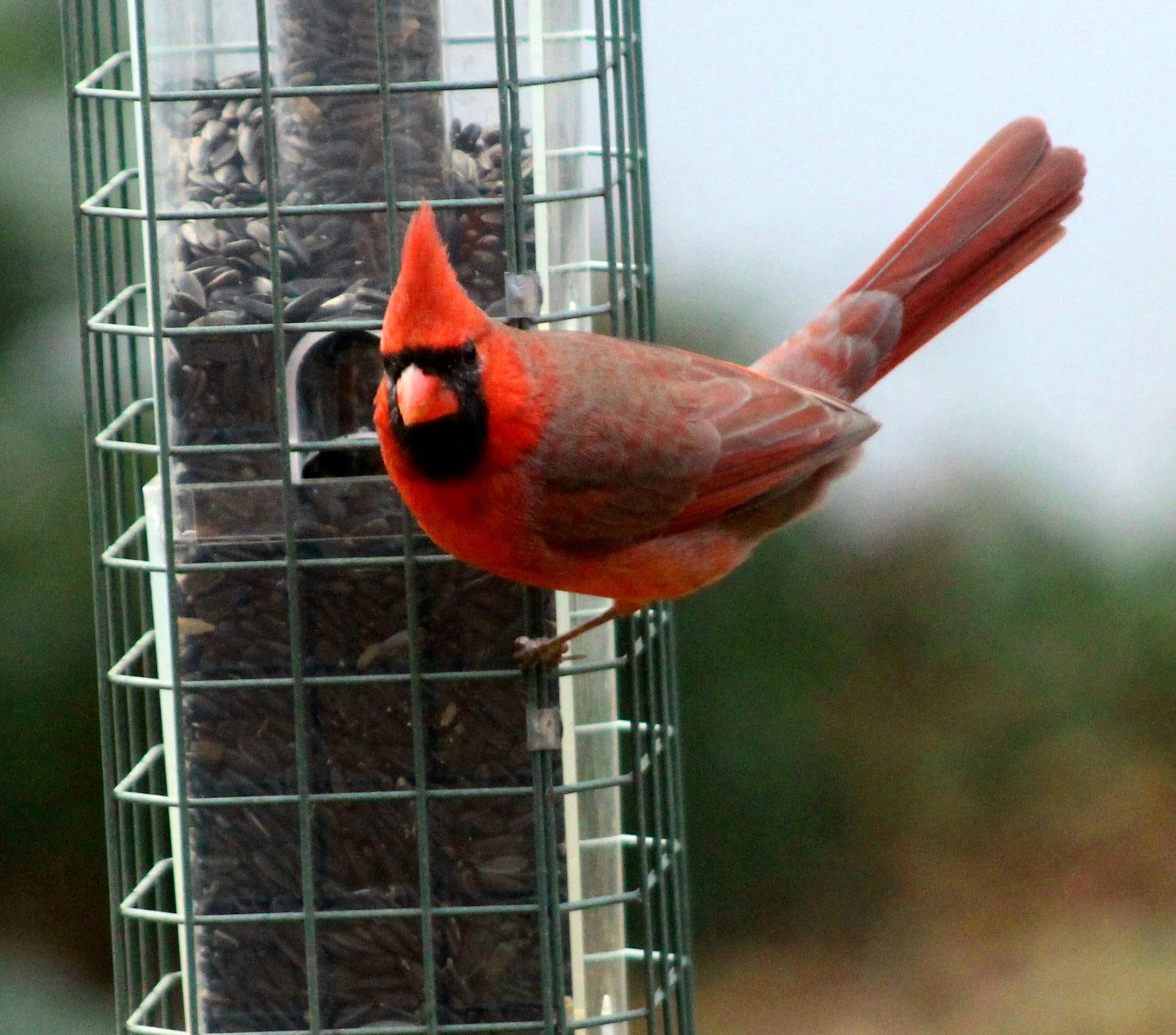 Male Cardinal  by Brenda Updike