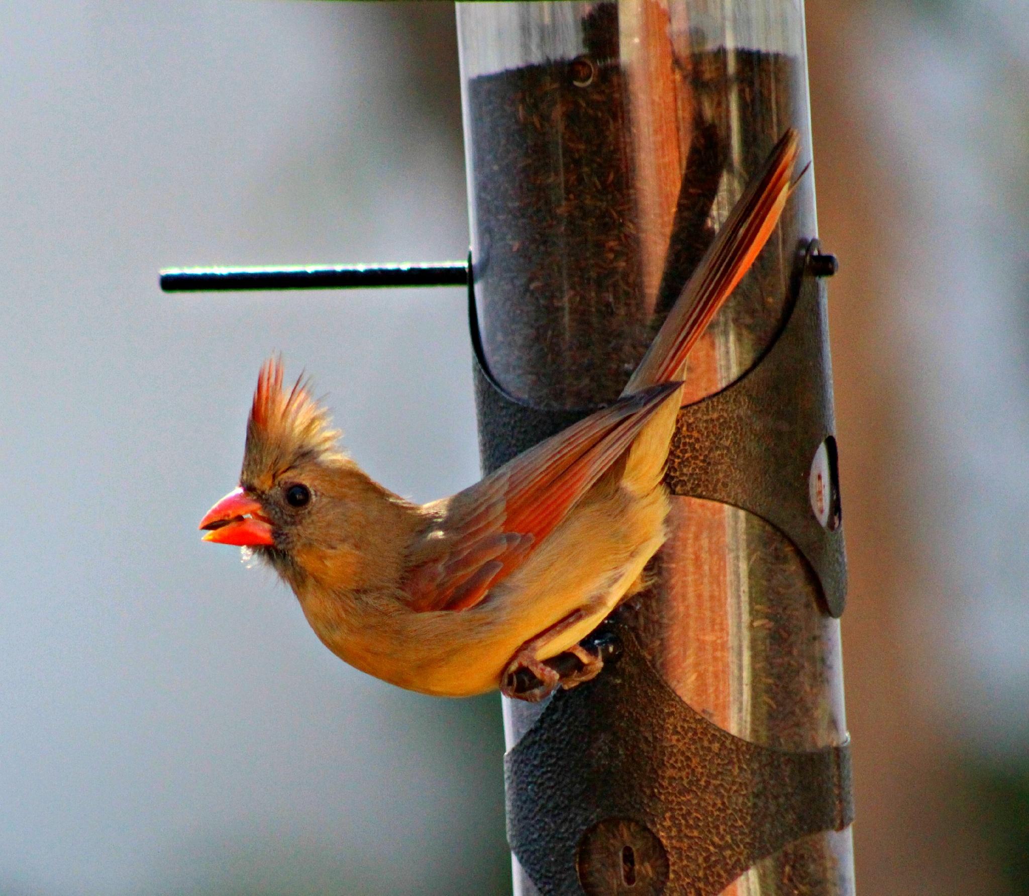 Female Northern Cardinal by Brenda Updike