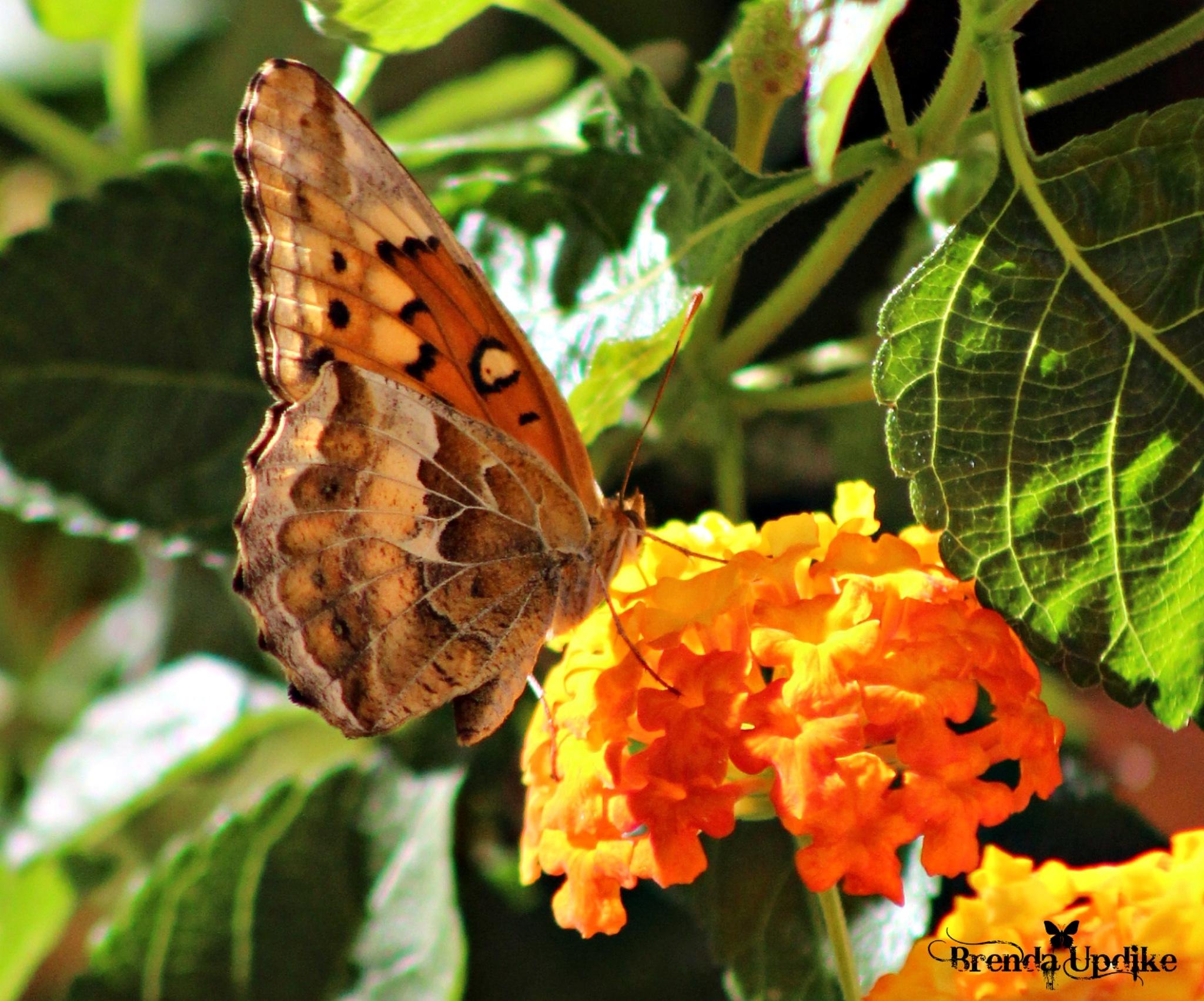 Variegated Fritillary Butterfly by Brenda Updike