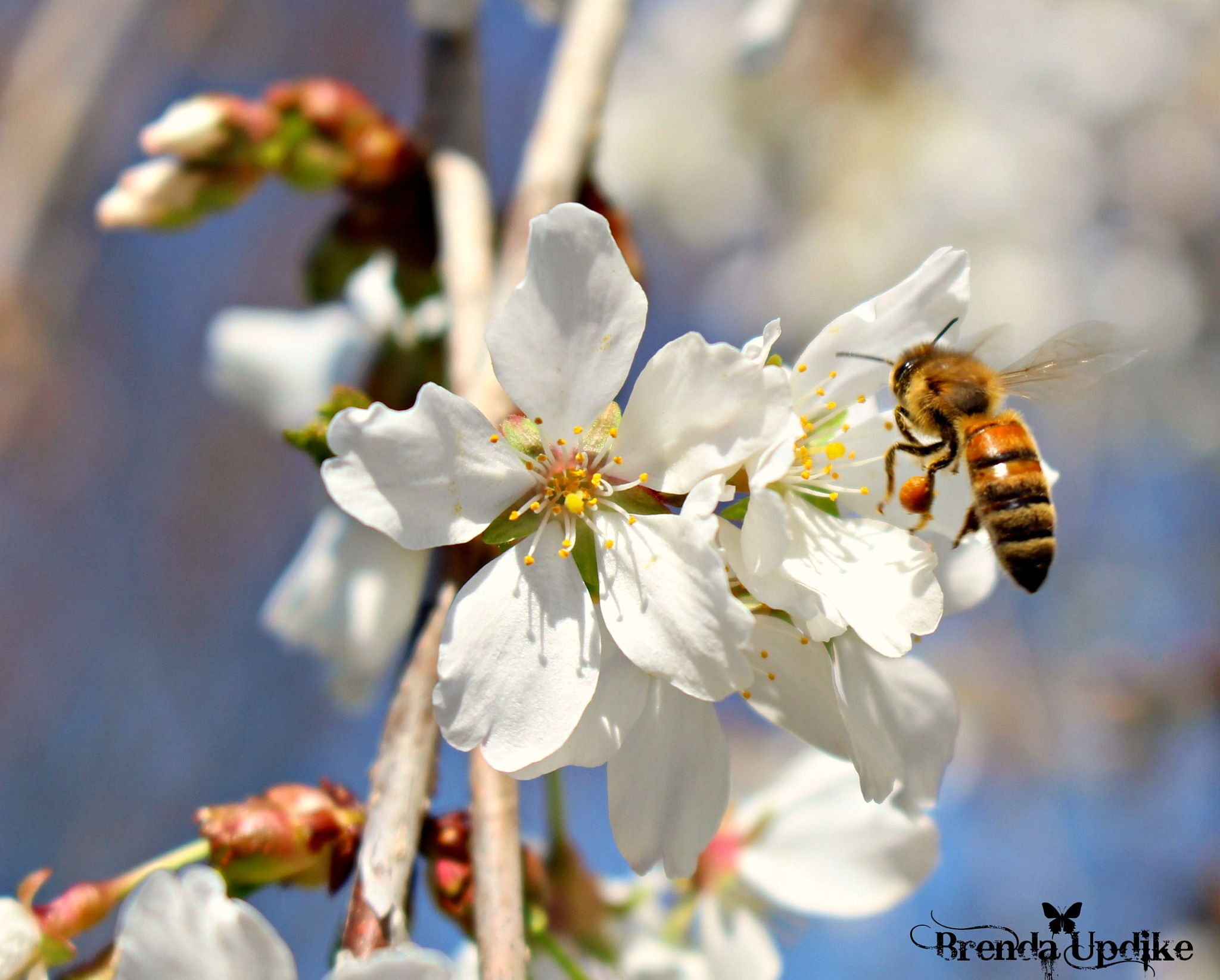 Weeping cherry Tree  Blossom and honey bee  by Brenda Updike