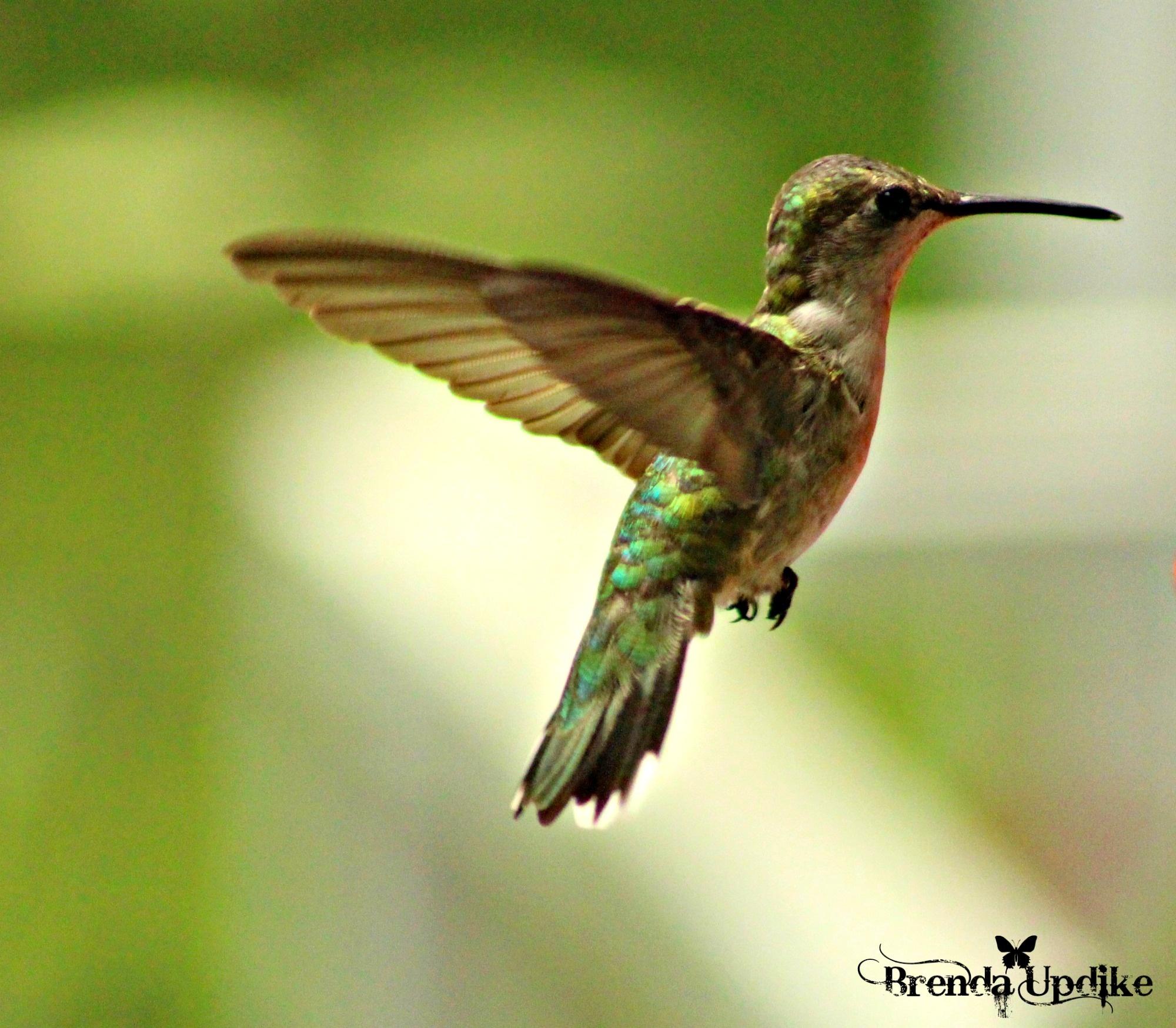Hmmingbird by Brenda Updike